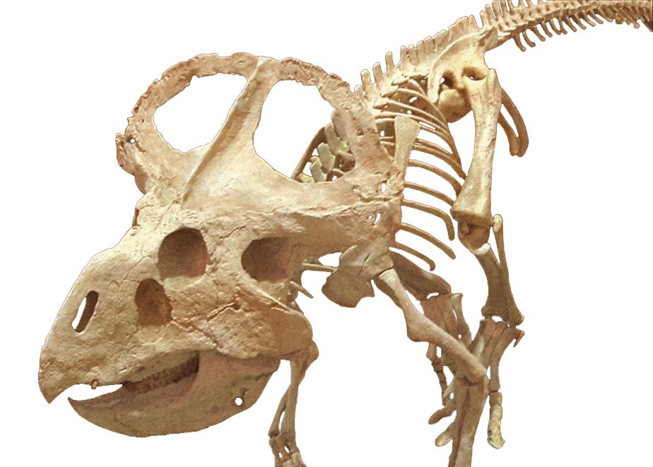 Dino Mystère ! - Page 8 Protoceratops-skeleton