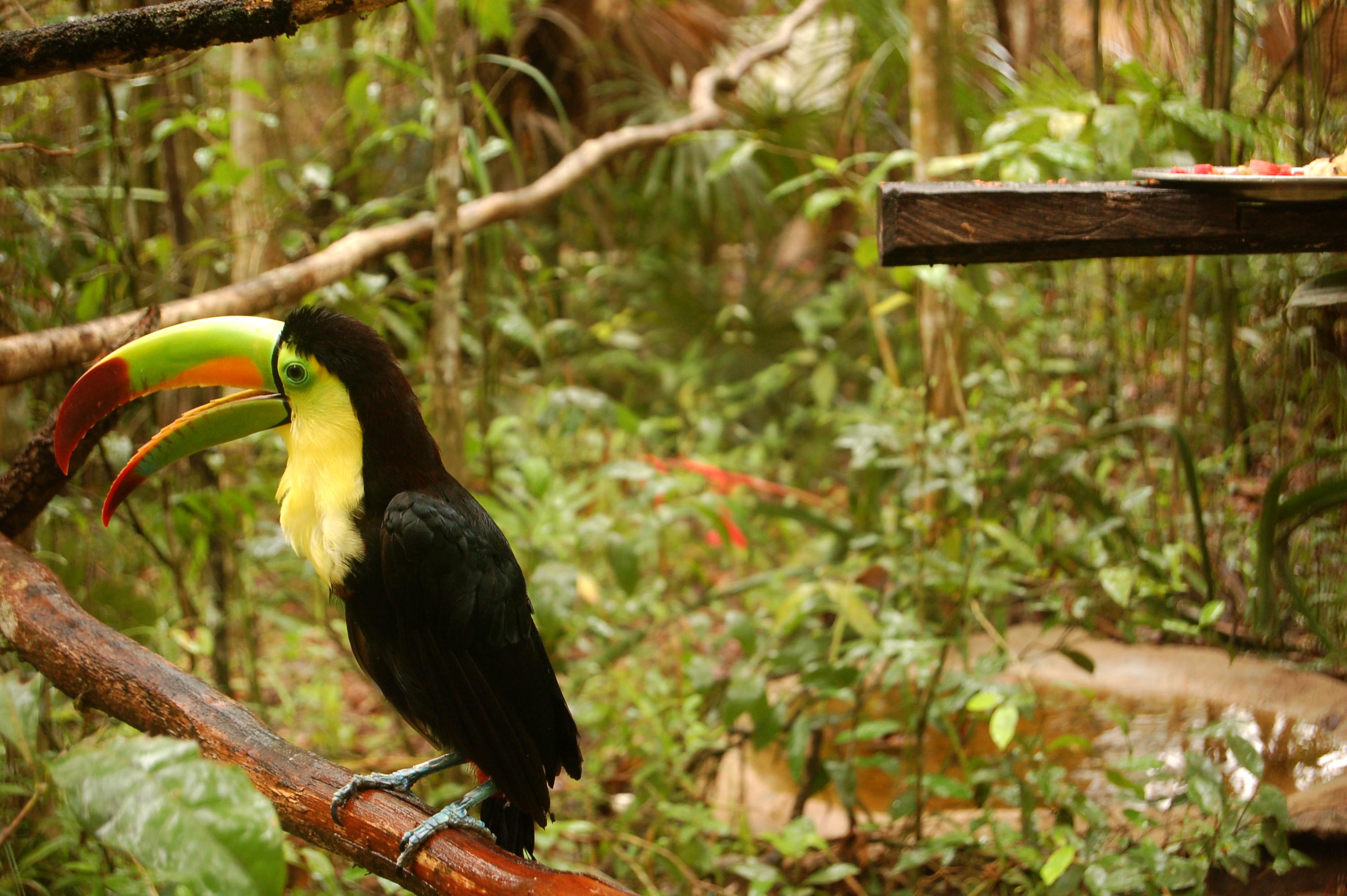 File:Ramphastos sulfuratus -Belize Zoo-6a.jpg - Wikimedia Commons: commons.wikimedia.org/wiki/file:ramphastos_sulfuratus_-belize_zoo...