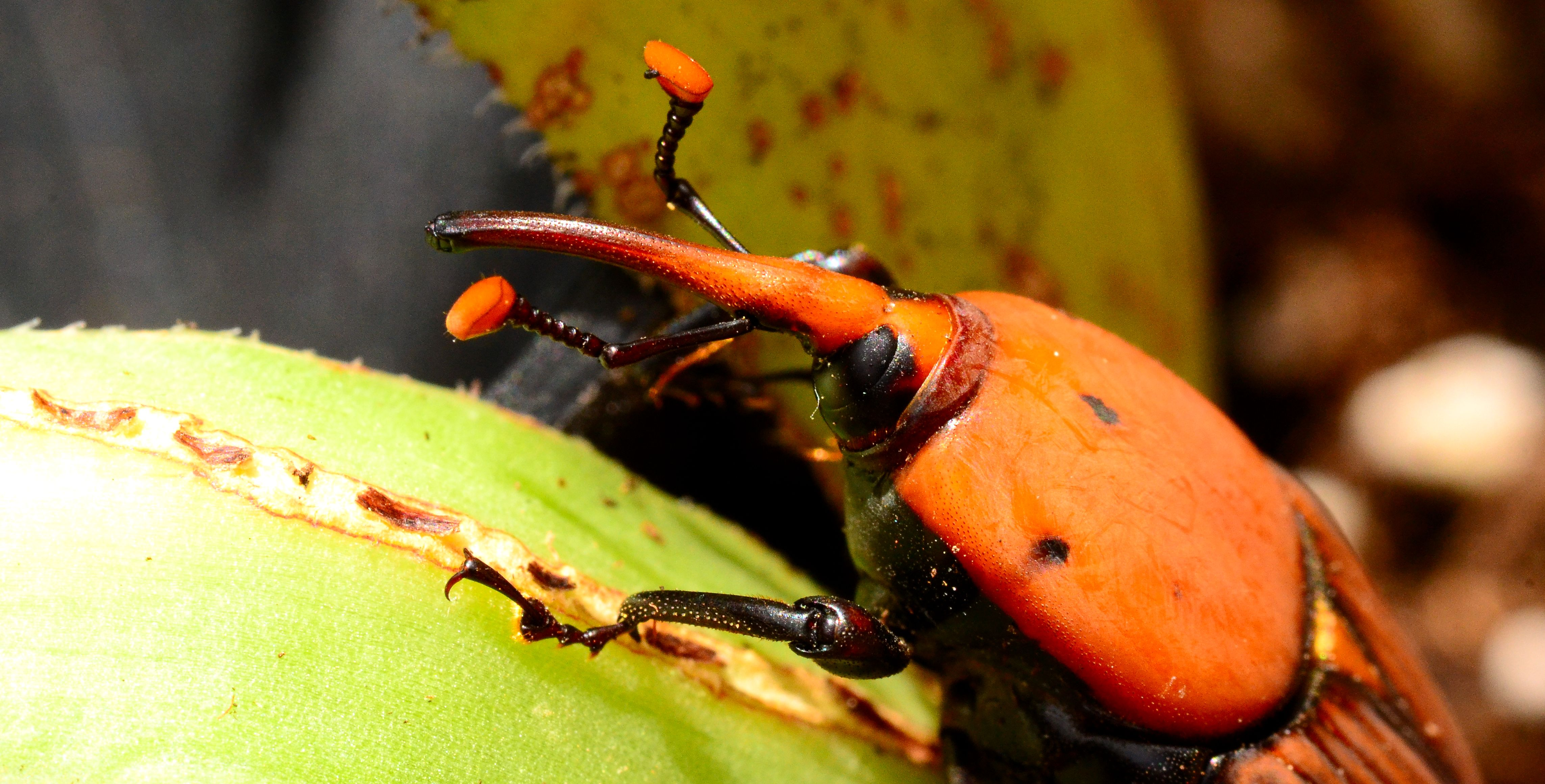 King's College London - Palm Weevils: the beetles gnawing a hole in ...