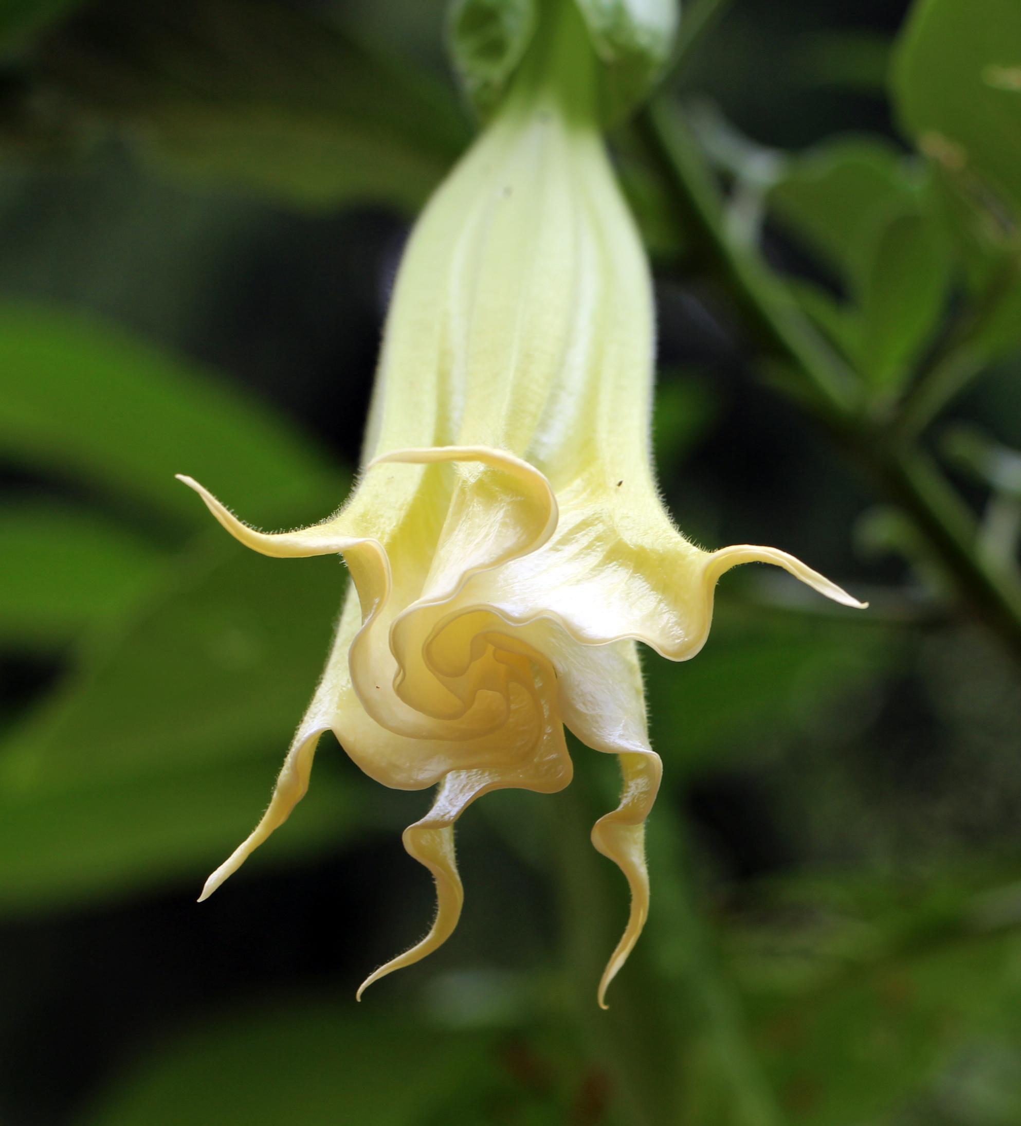 https://upload.wikimedia.org/wikipedia/commons/0/04/Rio_de_janeiro,_jardim_botanico,_brugmansia_suaveolens.JPG