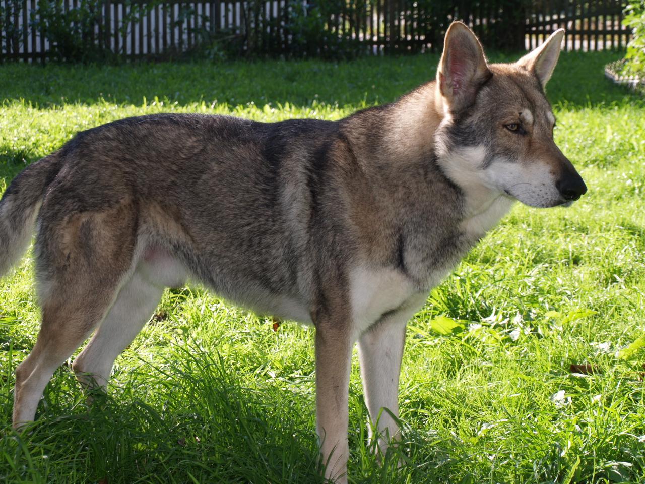 Dog Breeds Wolf Like Appearance