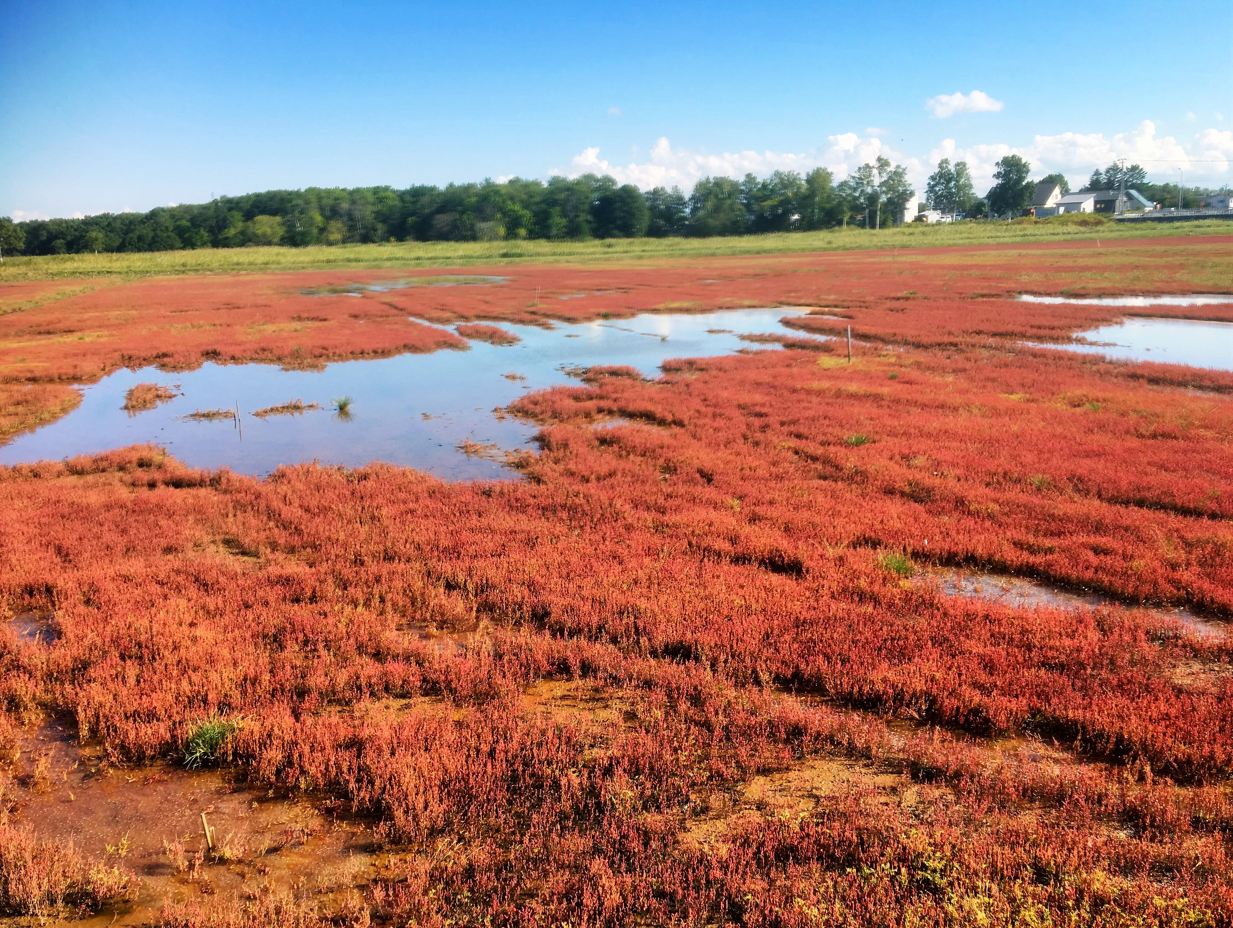 Salicornia europaea hokkaido japan