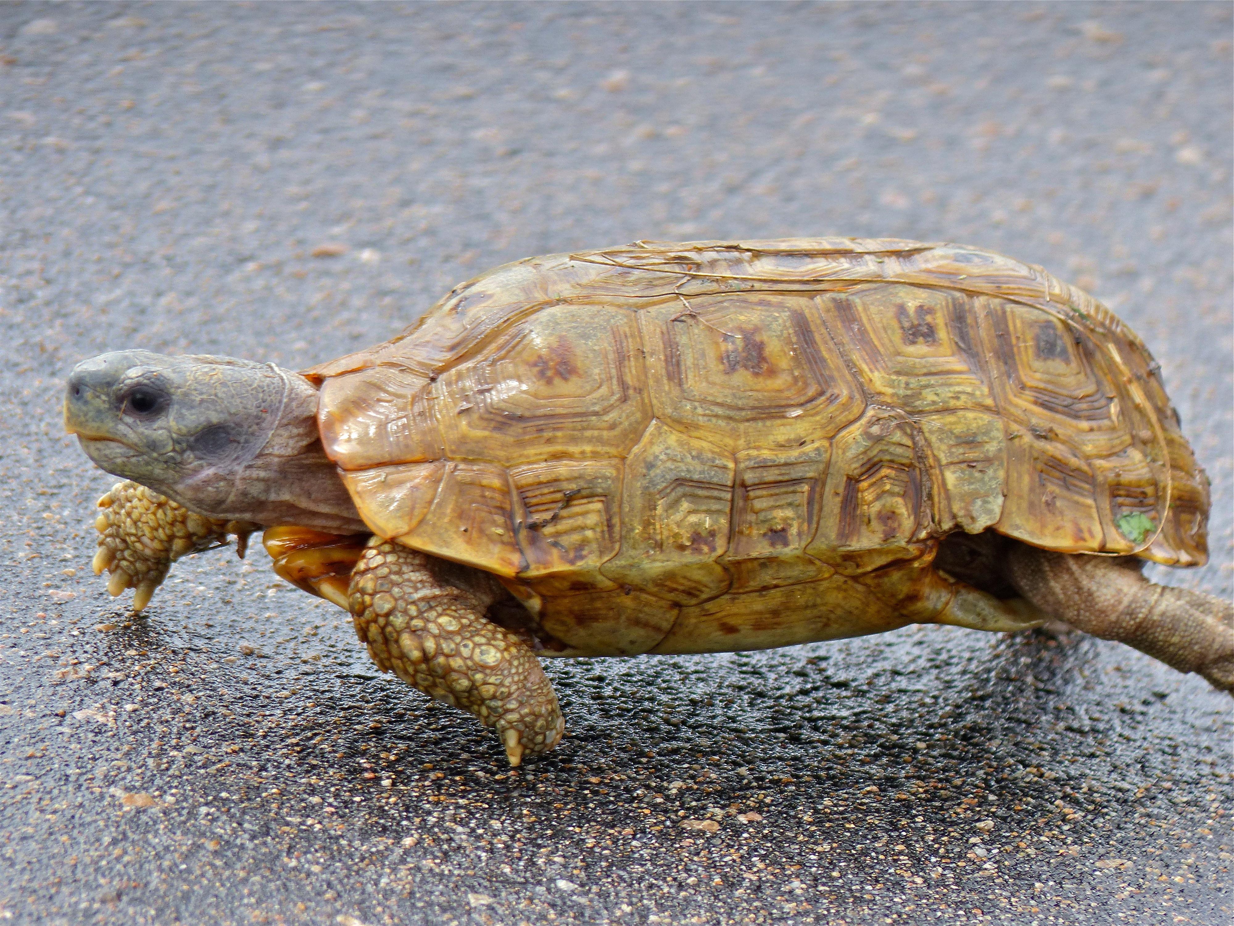 Speke's hinge-back tortoise - Wikipedia