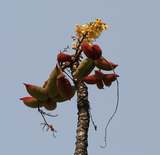 പ്രമാണം:Sterculia villosa flowers & fruit at Jayanti, Duars, West Bengal W Picture 238.jpg