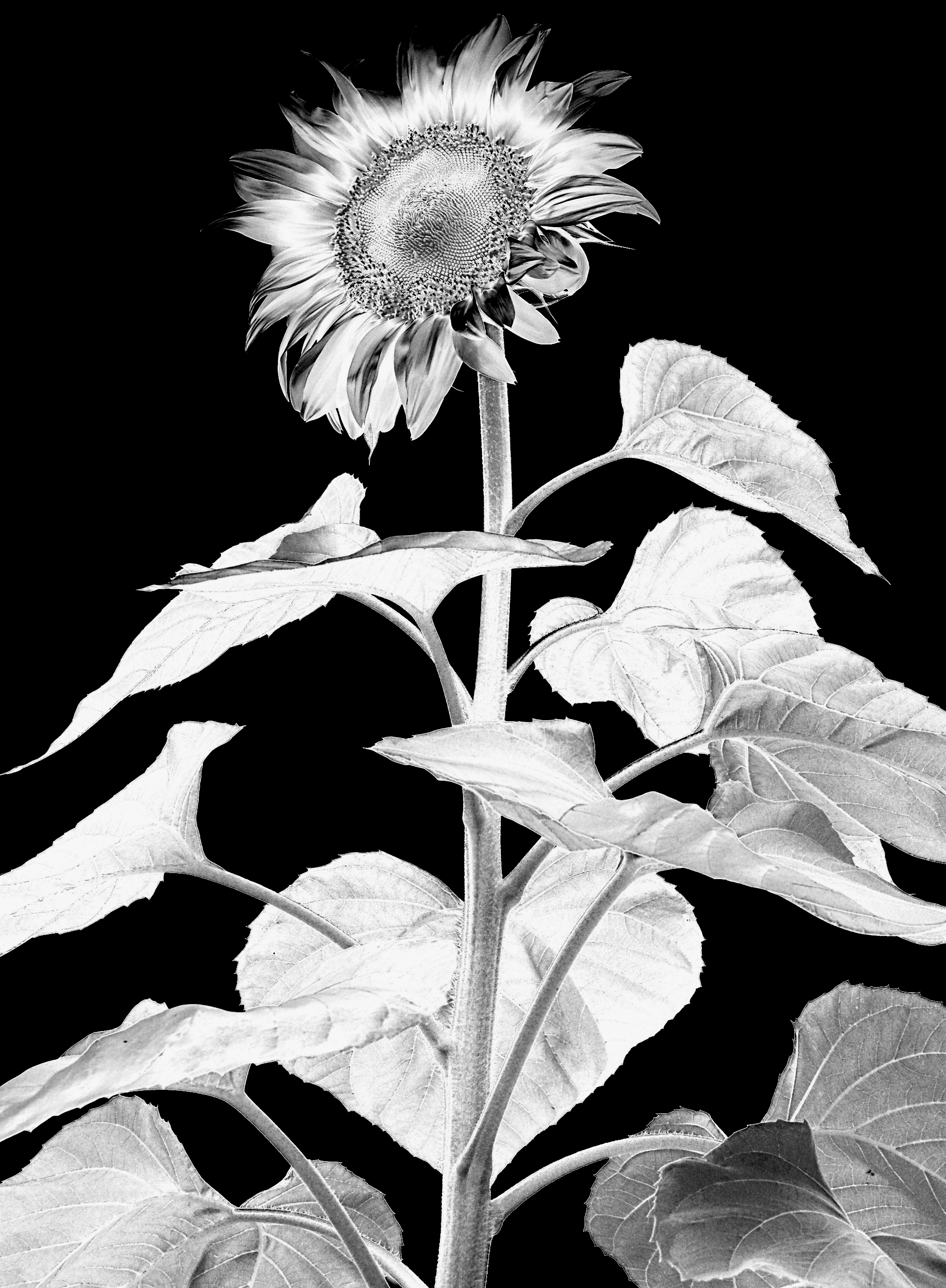File:TAG Sunflower Solarised.jpg - Wikimedia Commons