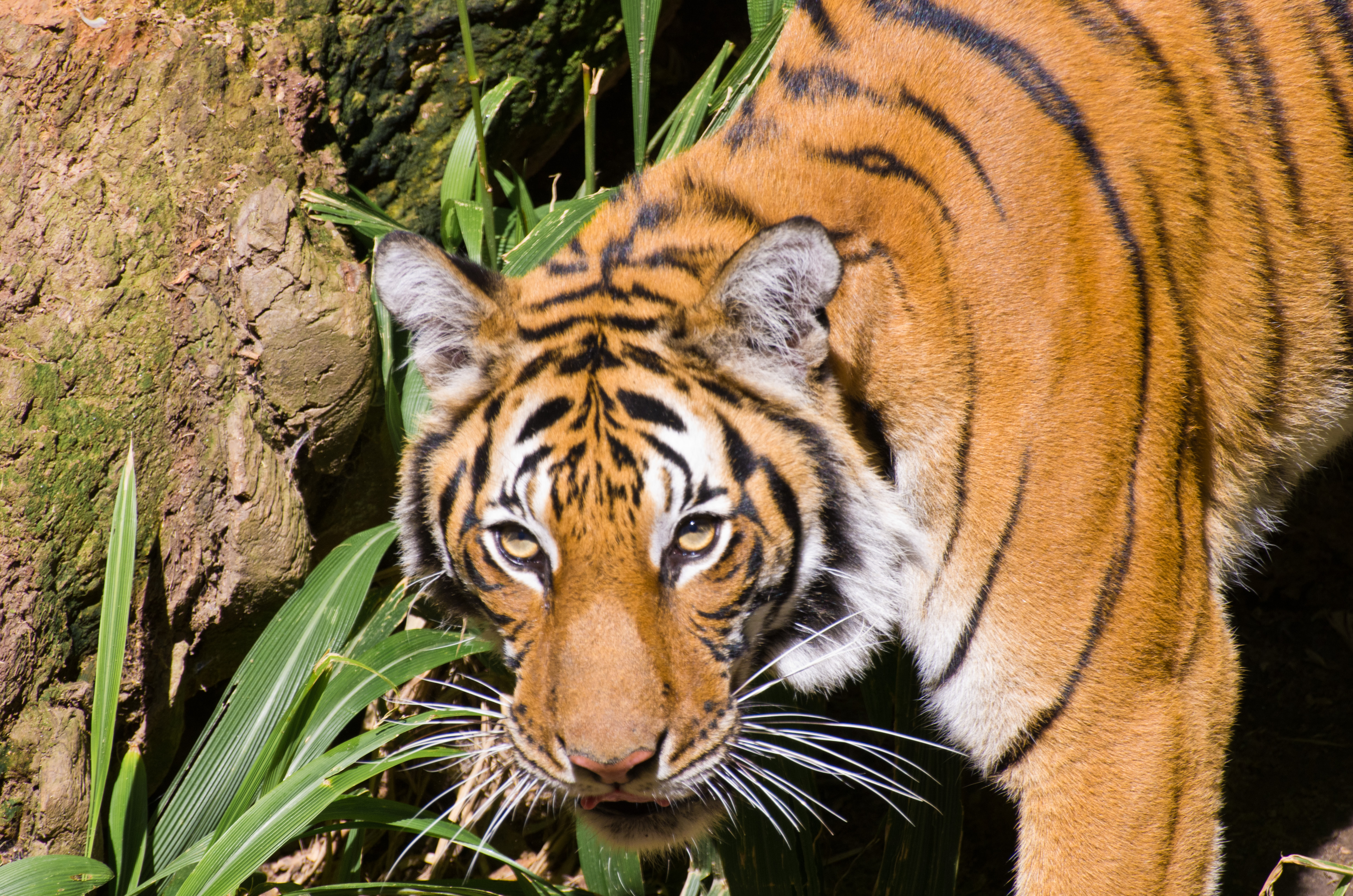Build Tiger  English