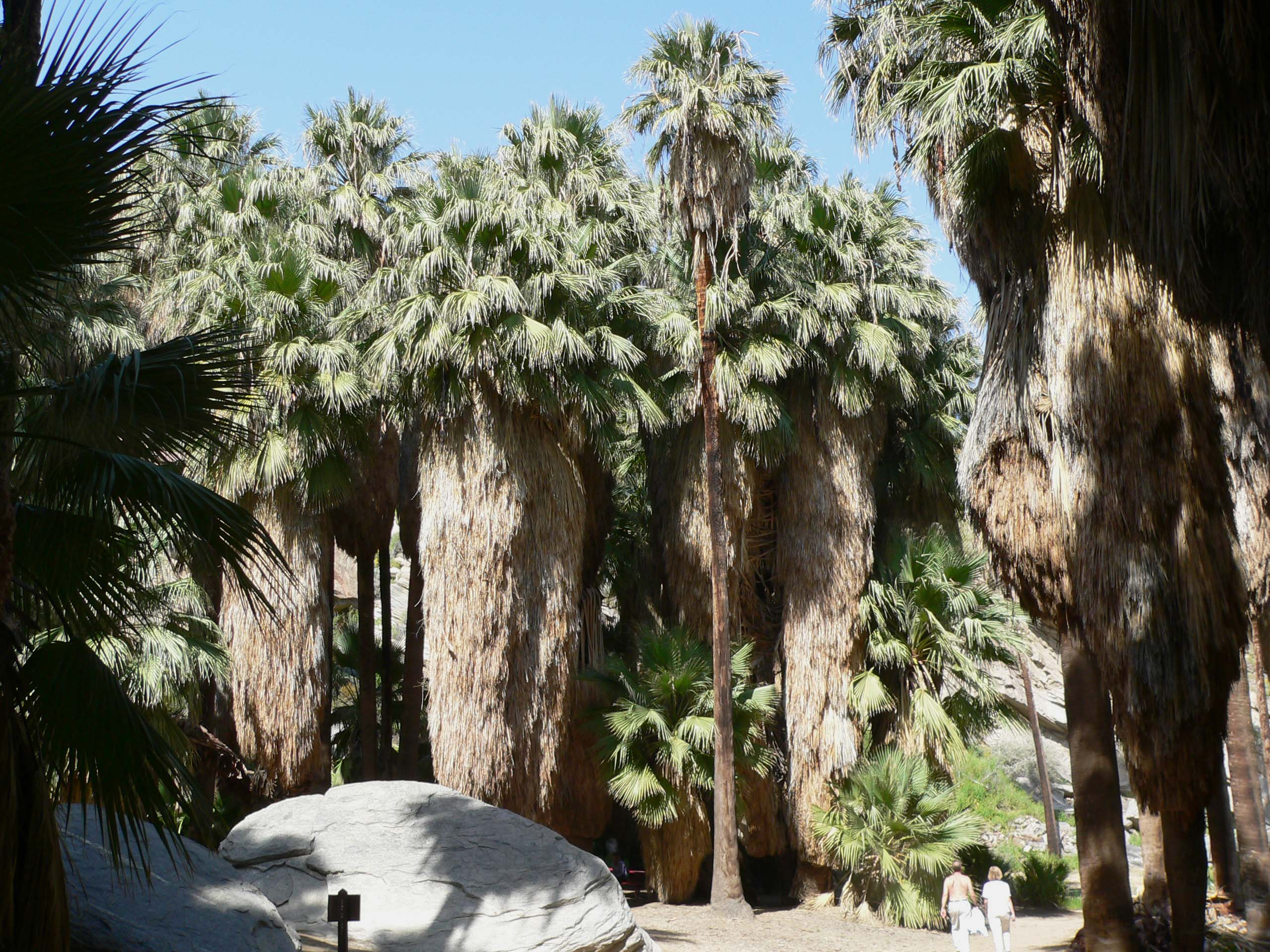 https://upload.wikimedia.org/wikipedia/commons/0/04/Washingtonia_filifera_grove.jpg