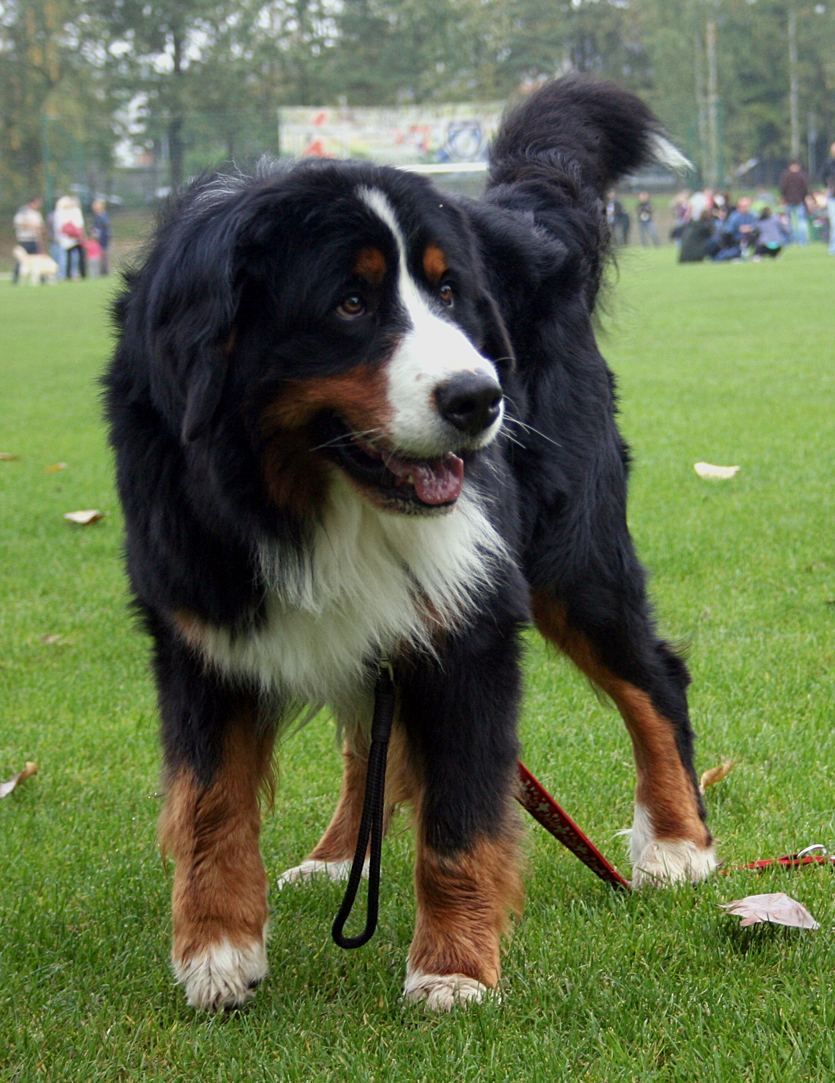 Bernese Mountain Dog Puppies Wi For Sale