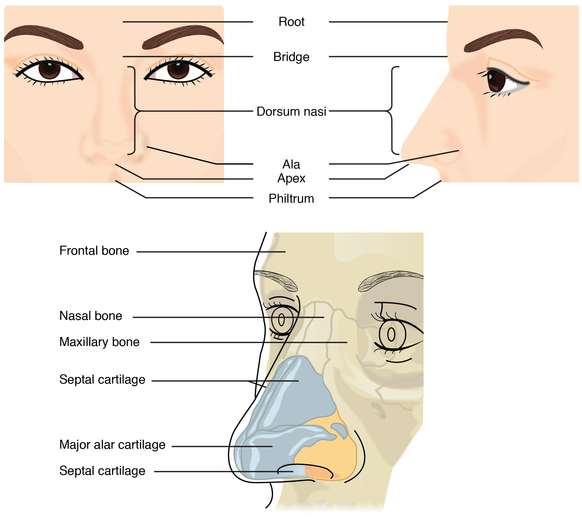Diagrams Of The Throat To Print likewise Bony Orbit in addition Article moreover Ovaries Vs Appendix additionally The Human Respiratory System 39589083. on nasal cavity organs