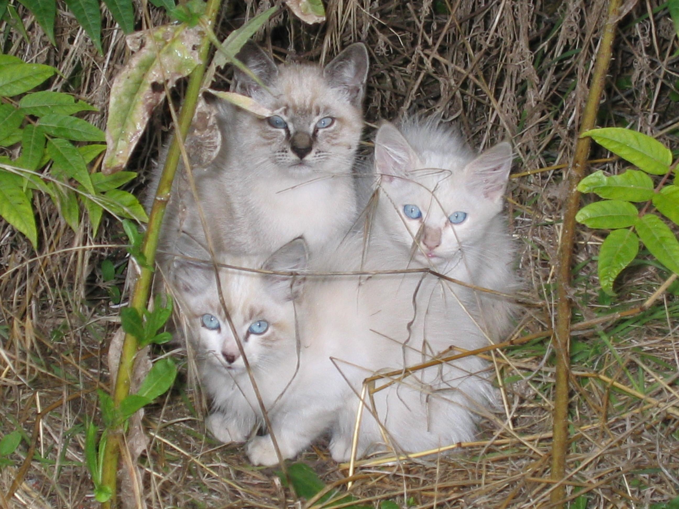 >> صور قطط << تبع المسابقه << 3months-old_crossbreed_cats.jpg