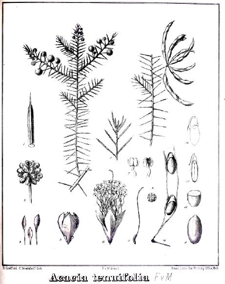 Acacia tenuifolia image