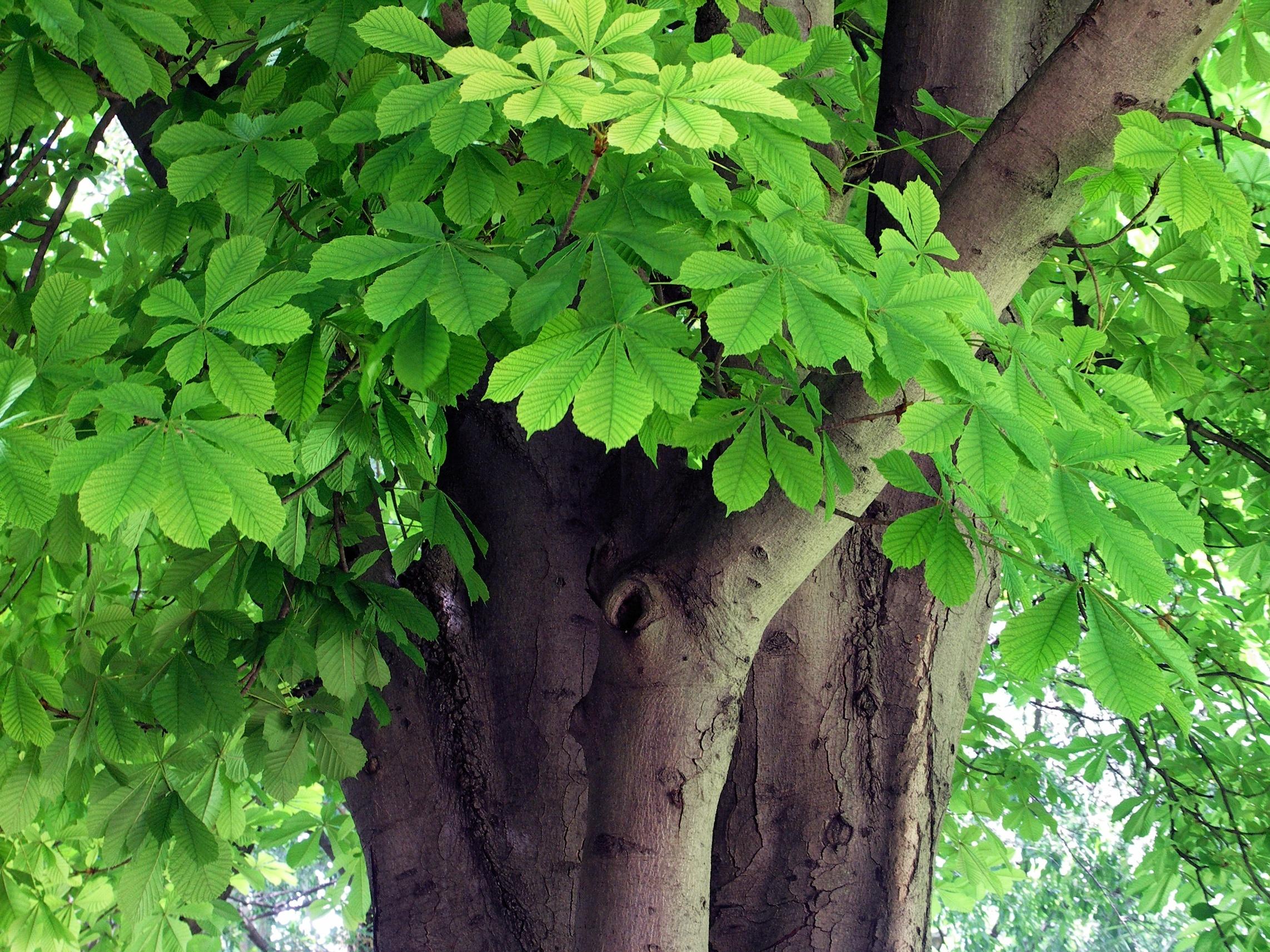 Tom clark james schuyler horse chestnut trees and roses for The chestnut