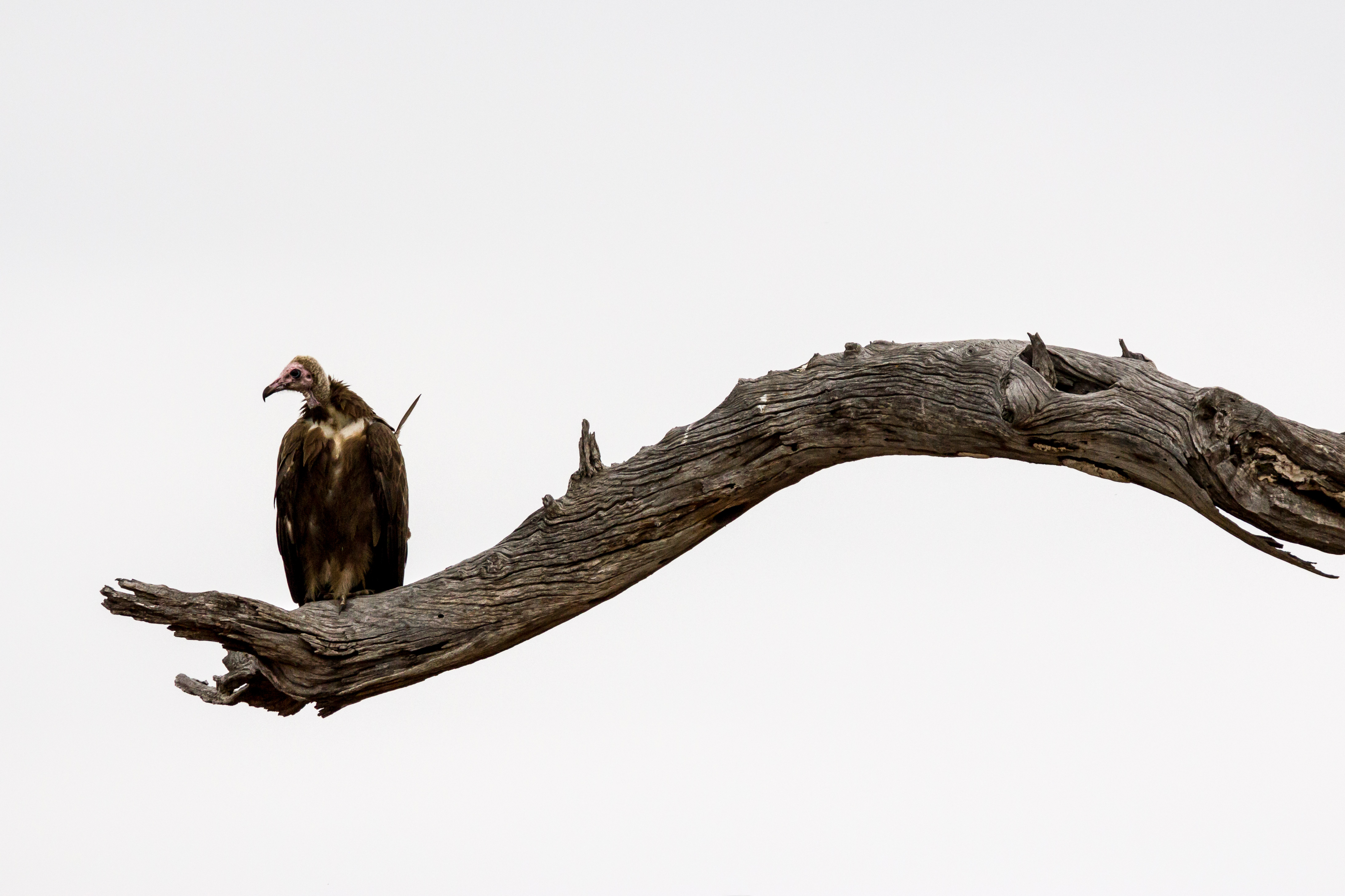 http://upload.wikimedia.org/wikipedia/commons/0/05/African_Hooded_Vulture_%28Necrosyrtes_monachus%29%2C_Kruger_National_Park.jpg