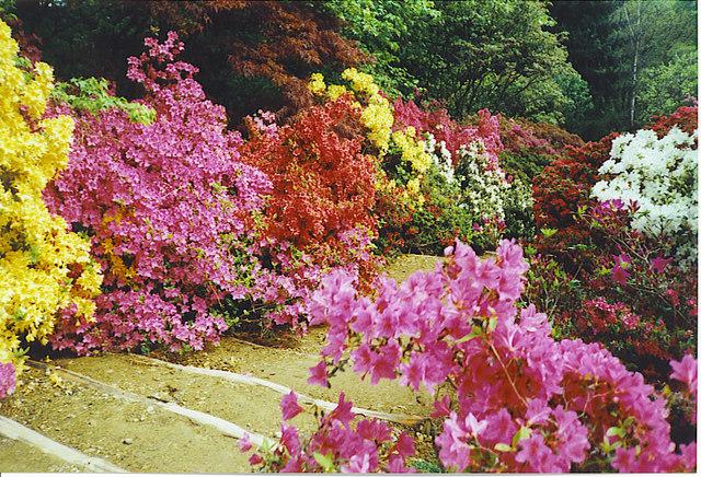 Azaleas at Winkworth Arboretum. - geograph.org.uk - 136575