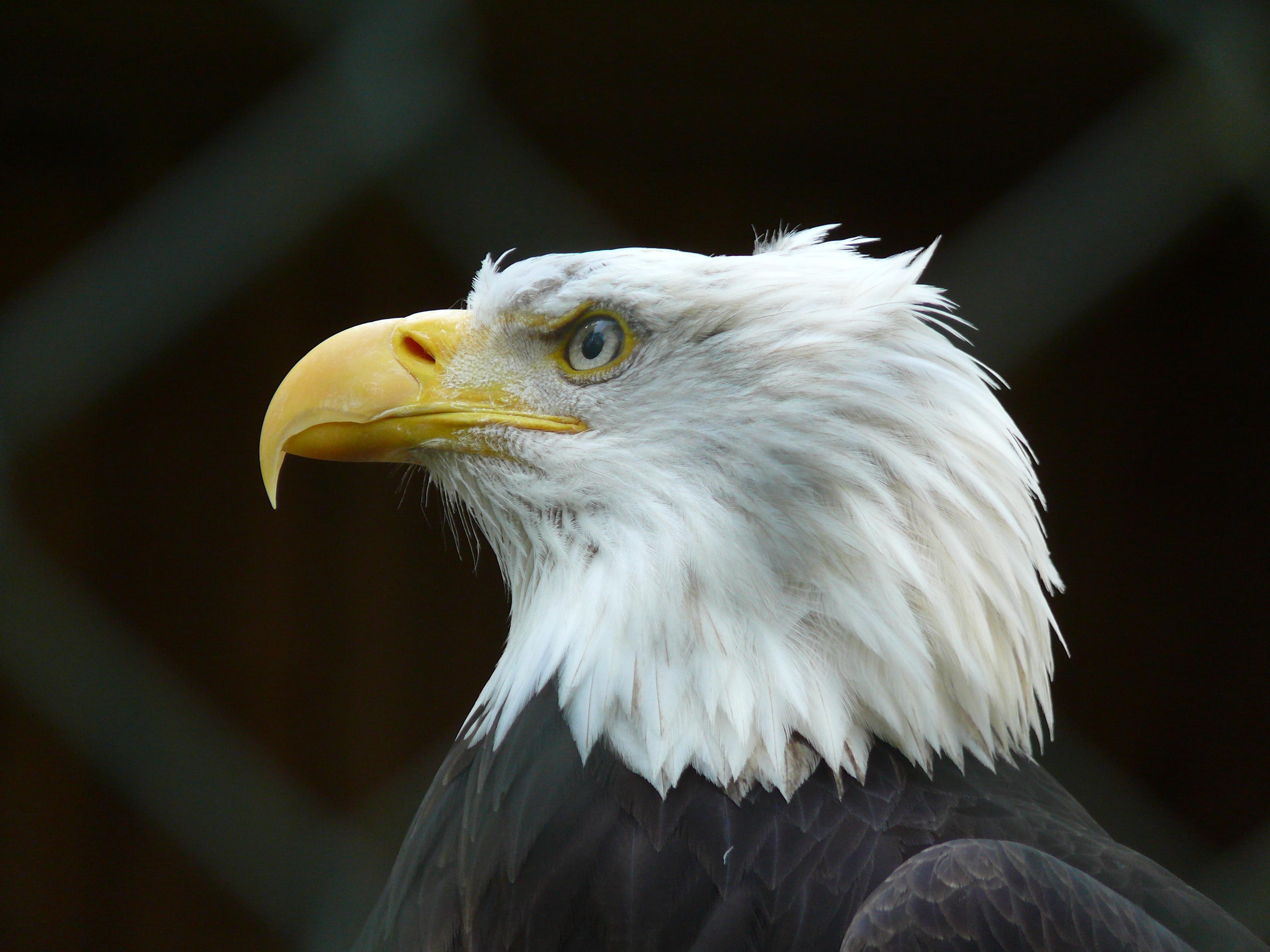 File:Bald-eagle P1010358.JPG - Wikimedia Commons