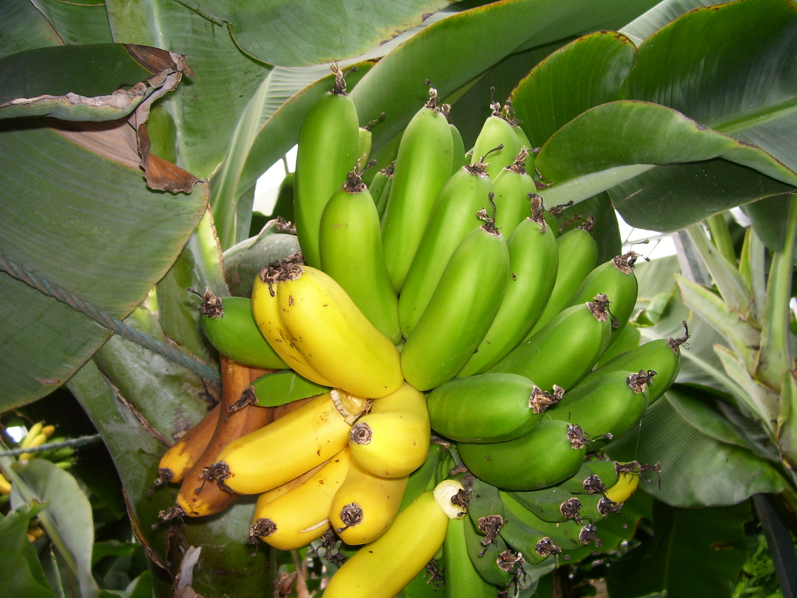 Banana production in Iceland - Wikipedia