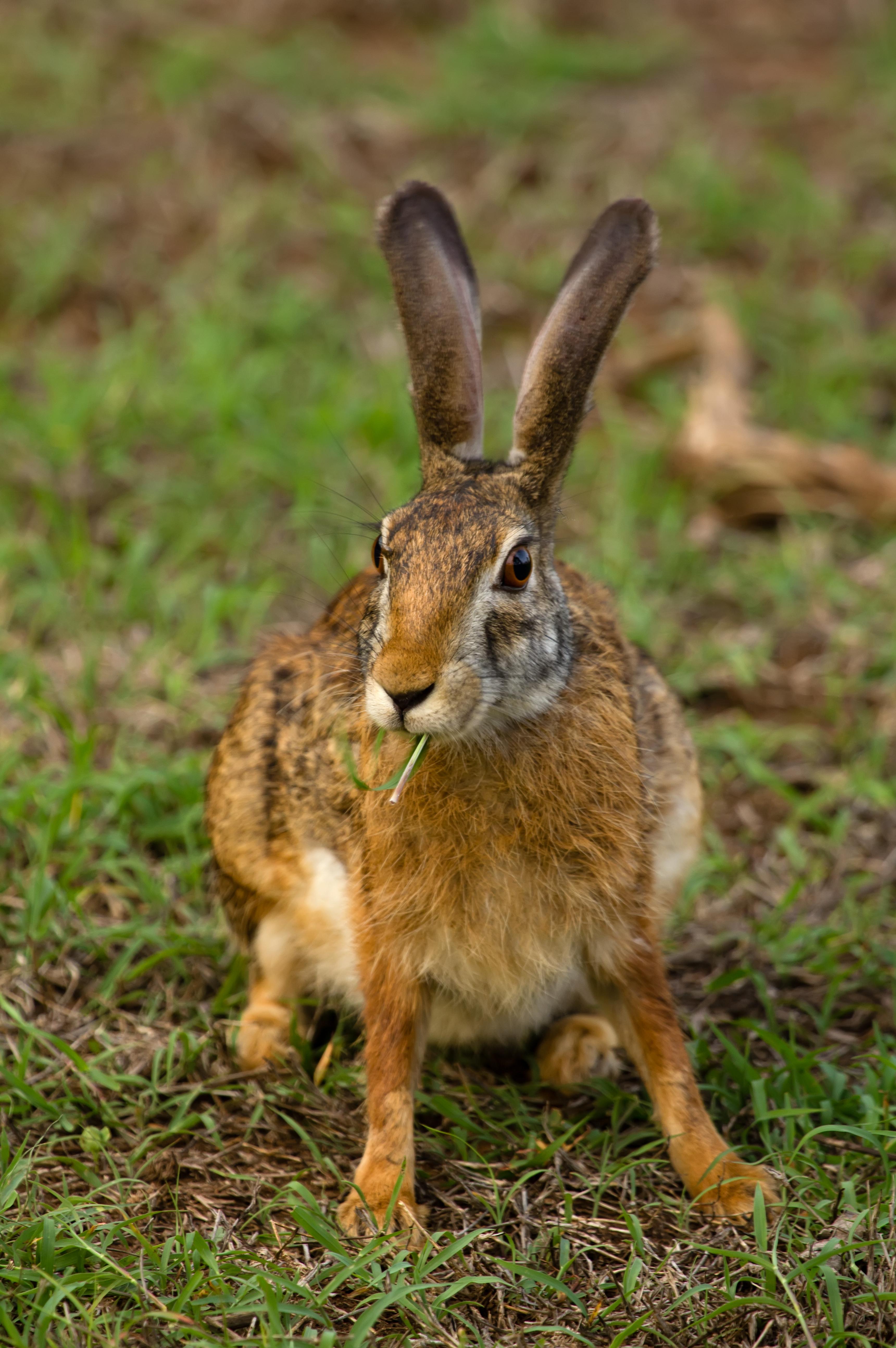 Description Black Naped Hare.jpg: commons.wikimedia.org/wiki/File:Black_Naped_Hare.jpg