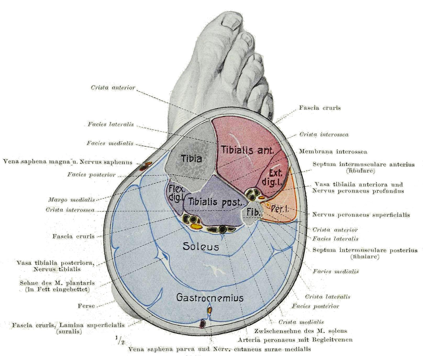 lower extremities diagram calf  leg  wikipedia  calf  leg  wikipedia