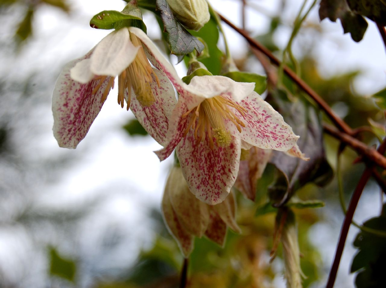 Image result for clematis cirrhosa