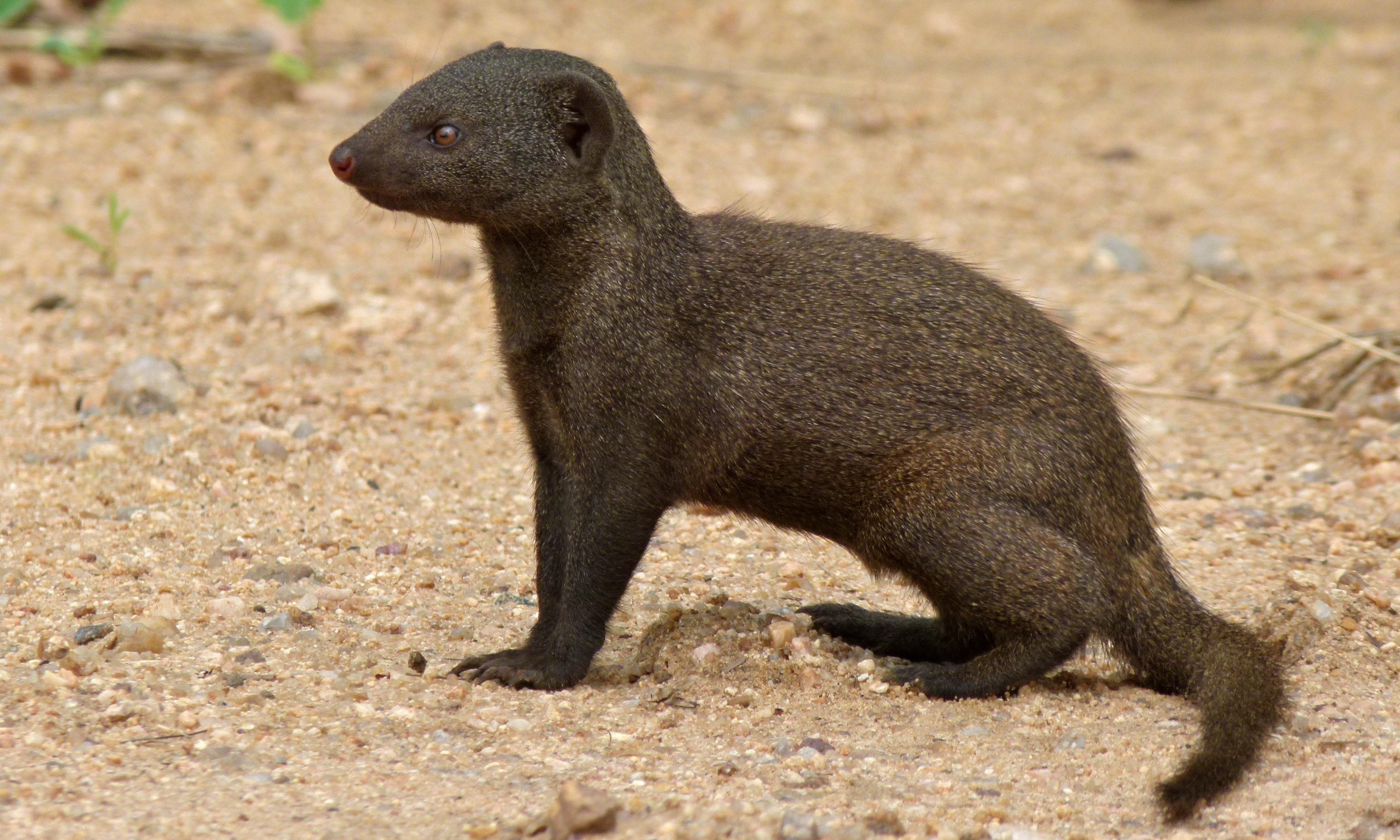 common dwarf mongoose wikipedia