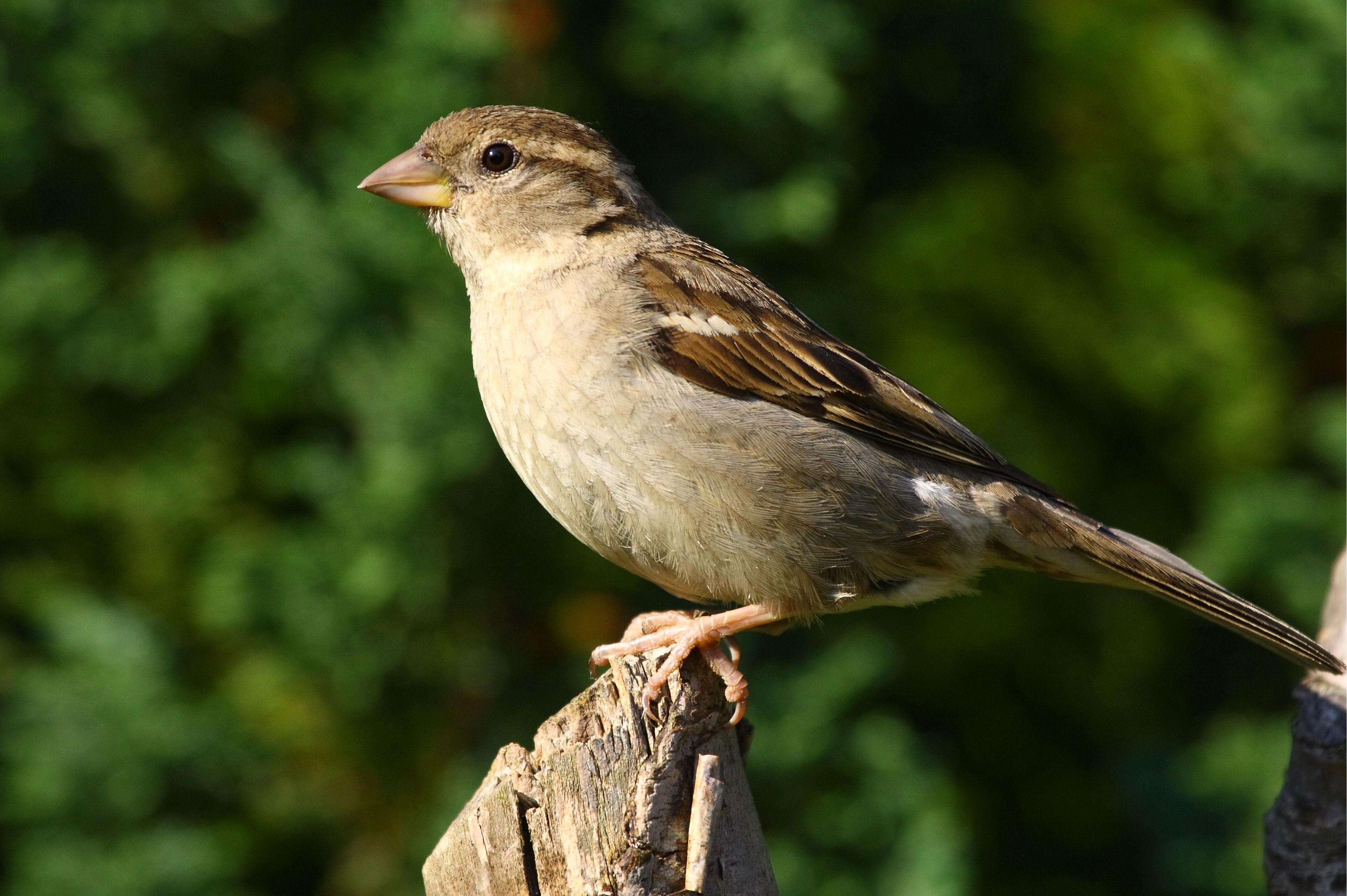 File:Female House Sparrow.jpg - Wikimedia Commons