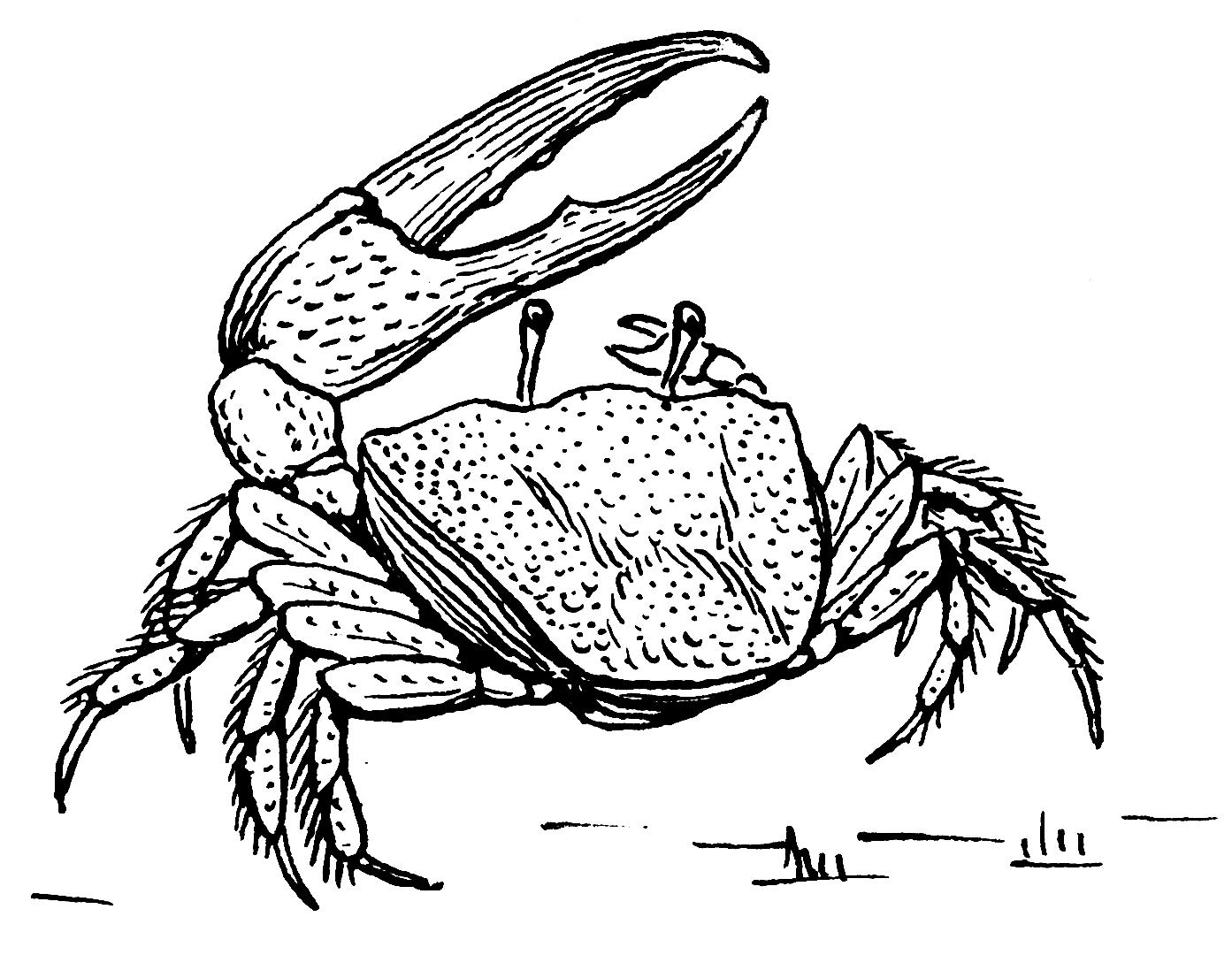 Fiddler Crab Drawing File:fiddler Crab Psf).png