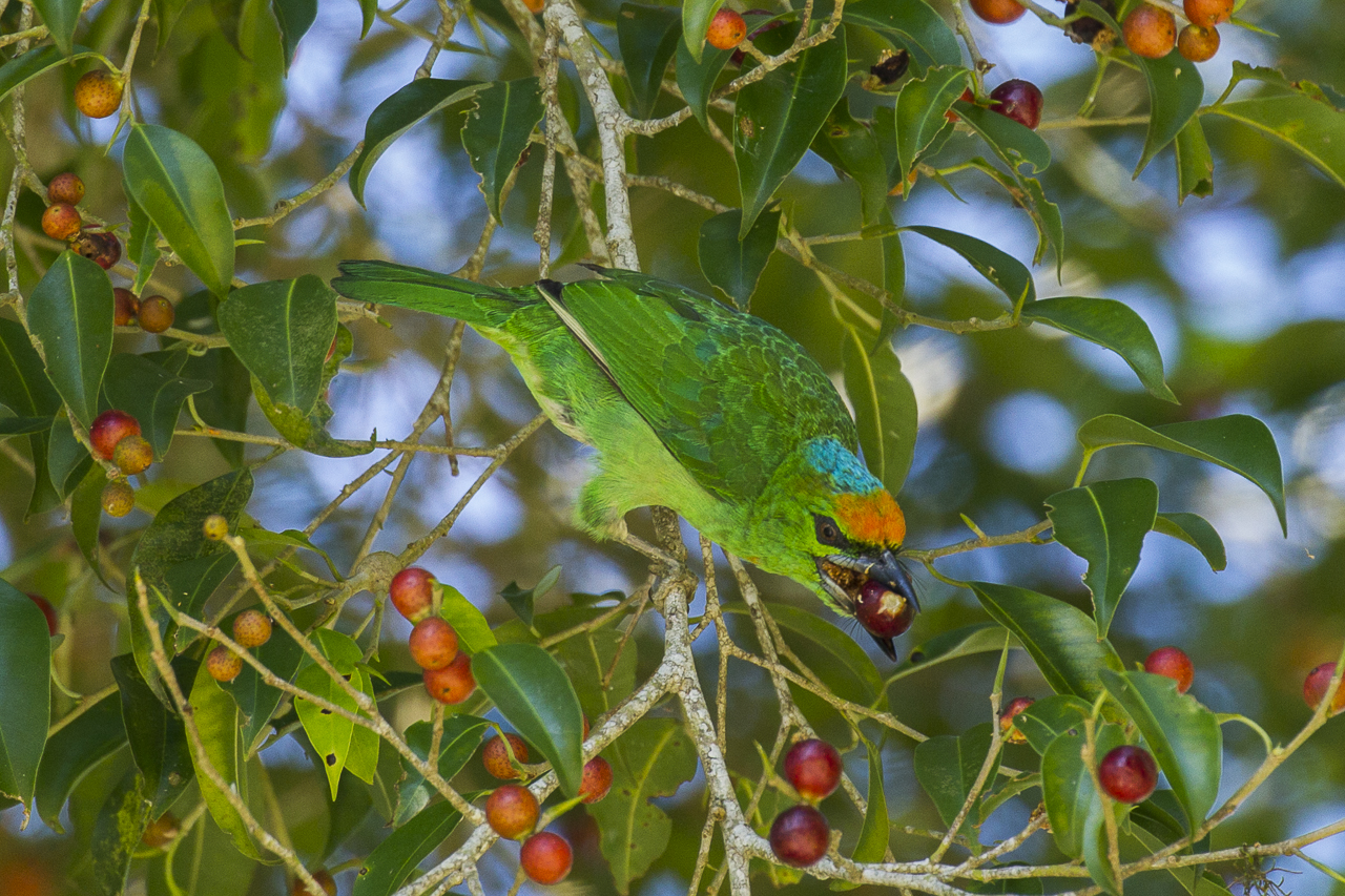 Flame fronted barbet Wikipedia