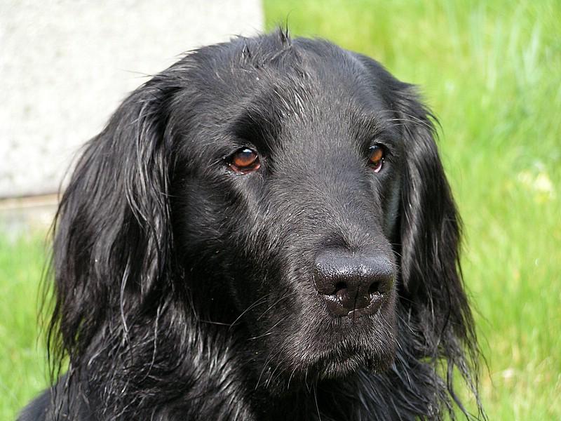 Flat Coat Retriever Dog Names