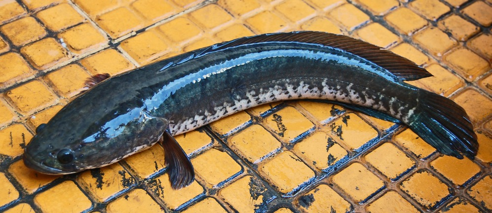 Chinese Snakehead, Channa asiatica