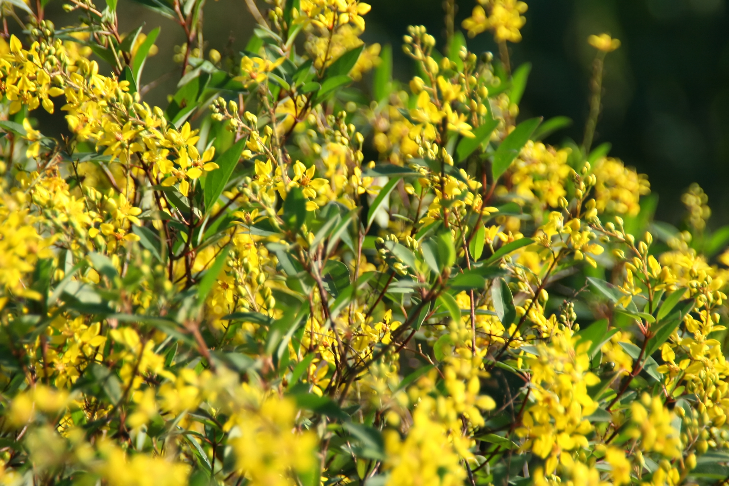 bushes with yellow flowers thryallis
