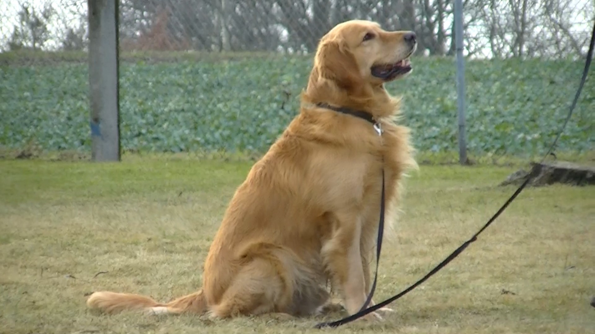 file:golden retriever sitting (barras) - wikimedia commons