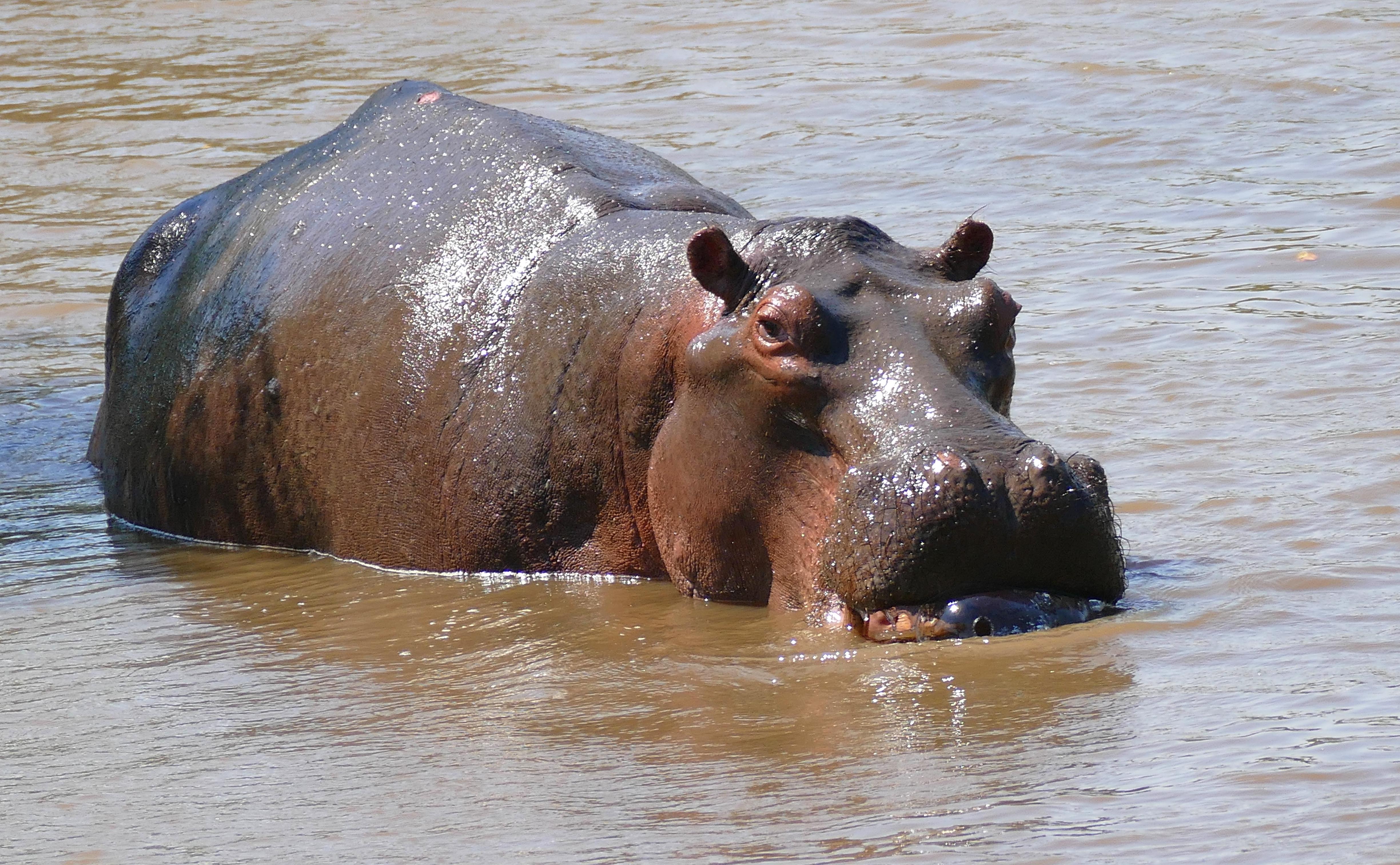 K Lite Hippo File File:Hippo (Hippopotam...