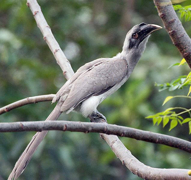 famous photos of indain parrot common grey hornbill