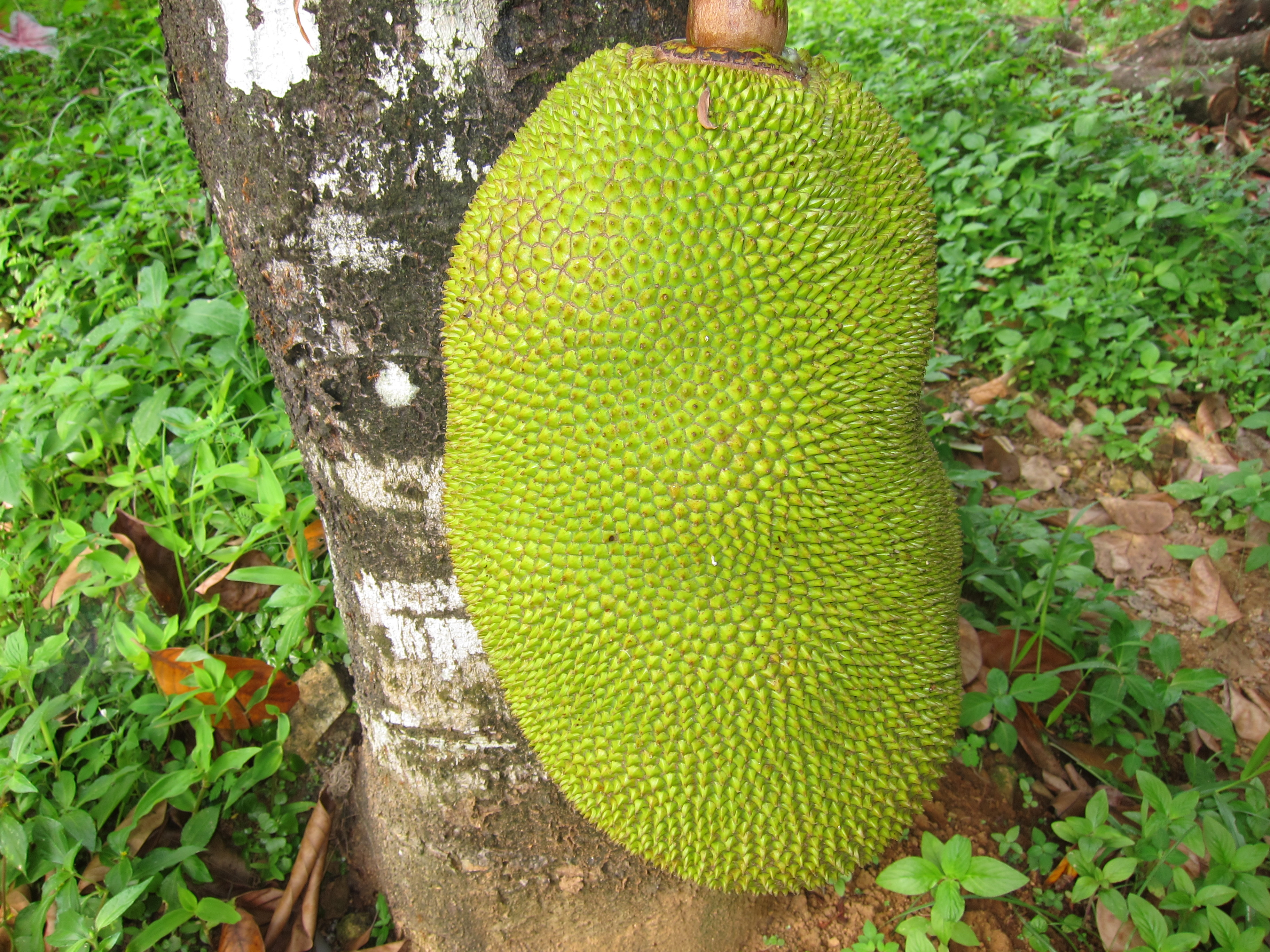 波羅蜜果。取自 Wikimedia Common https://commons.wikimedia.org/wiki/File:Jackfruit_ചക്ക.JPG