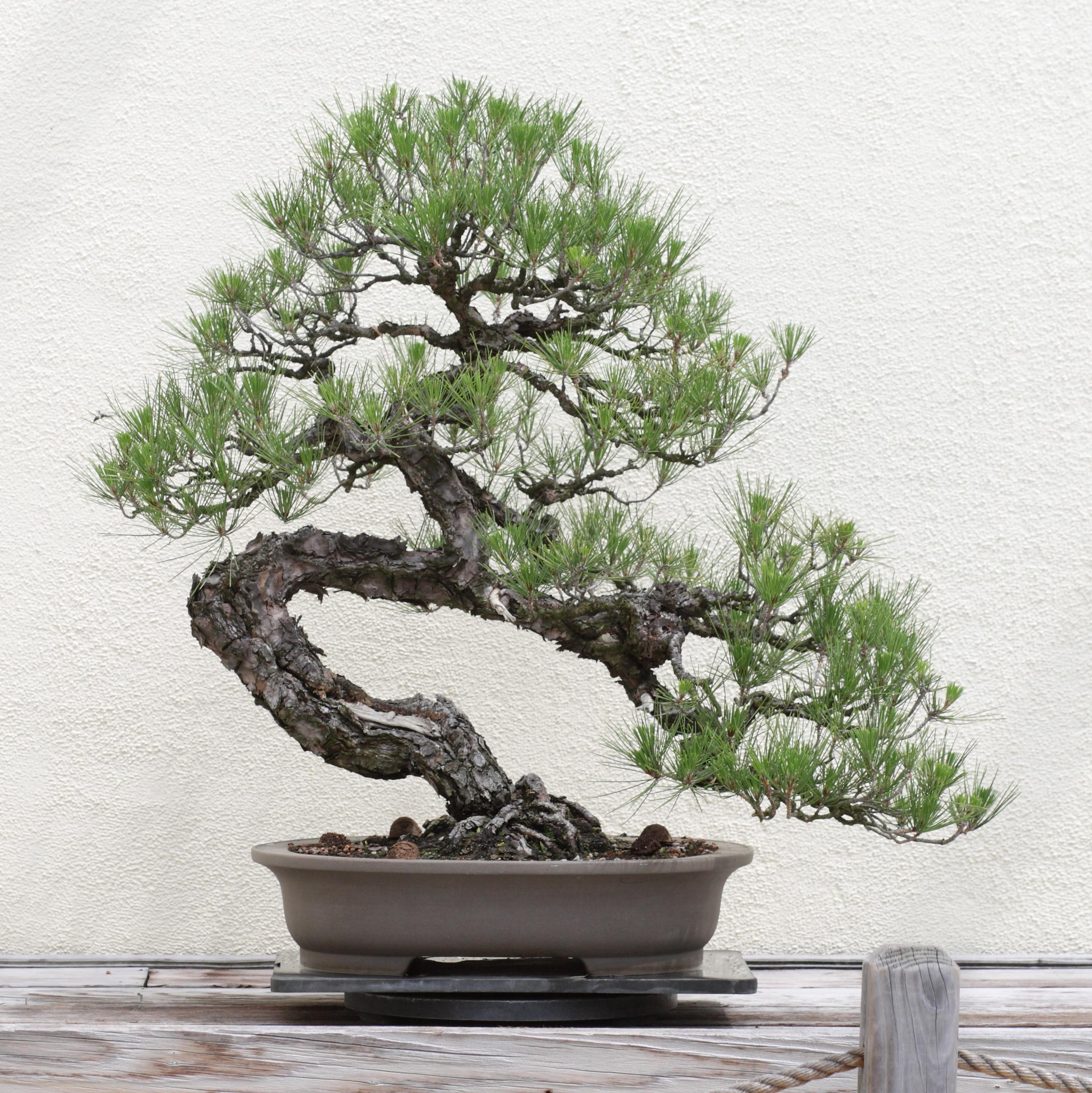 File Japanese Black Pine Bonsai 2011 05 29 Jpg Wikimedia Commons
