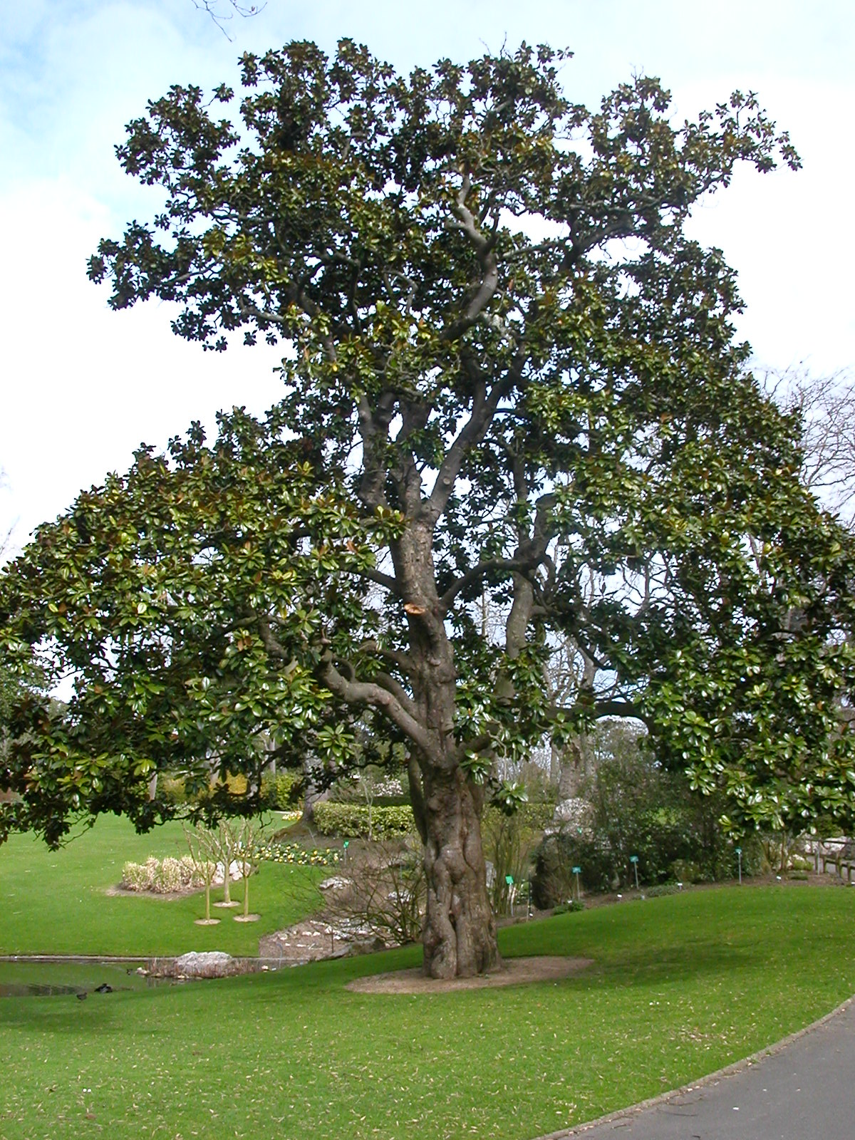 VII Lekcija Jardin_des_plantes_Nantes-Magnolia_Hectot
