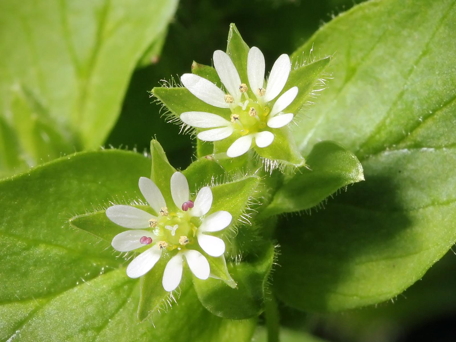 Tyúkhúr csillagszerű virágai