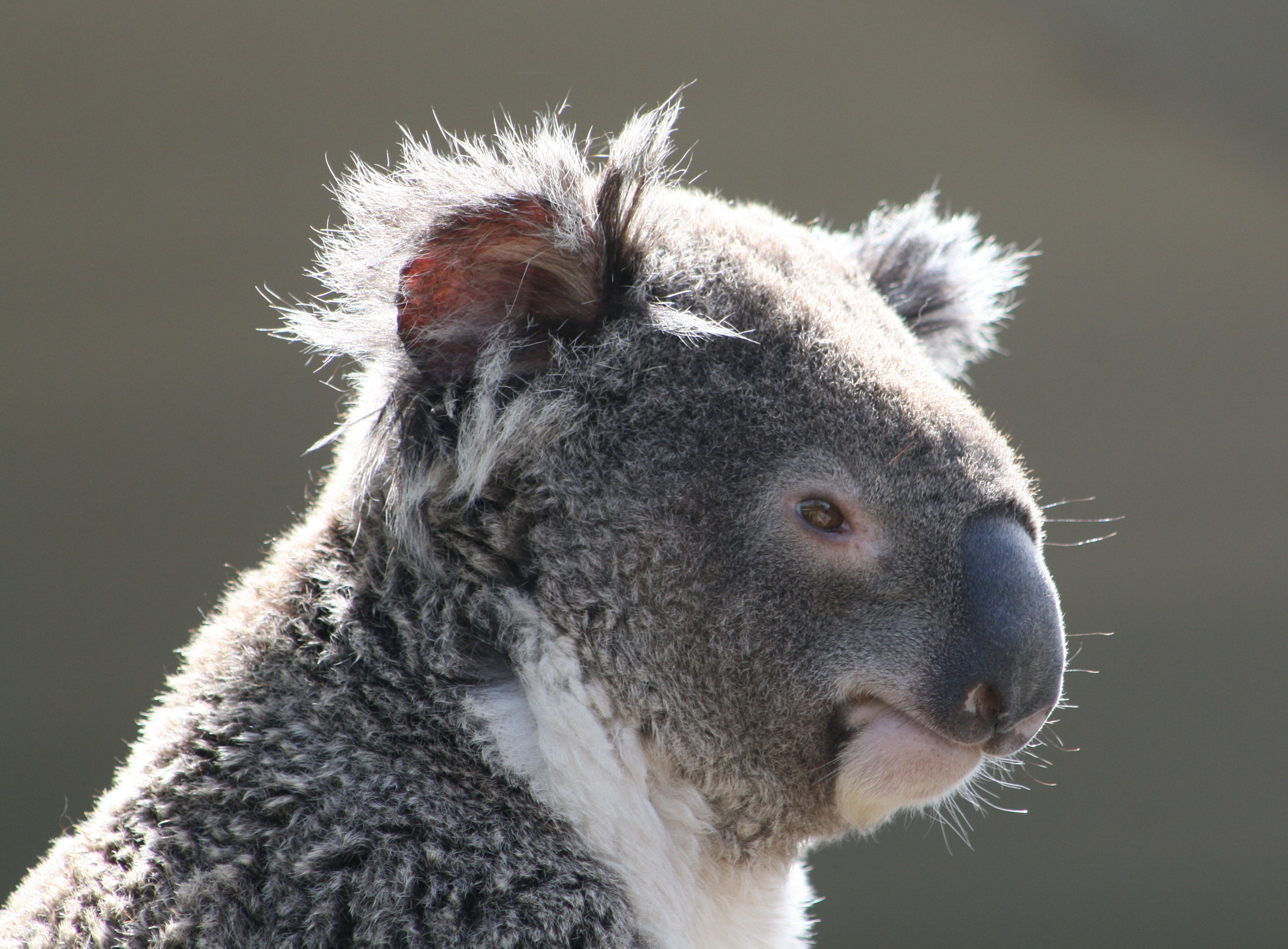 Archivo:Koala (Phascolarctos cinereus), Sídney, Australia18.JPG ...