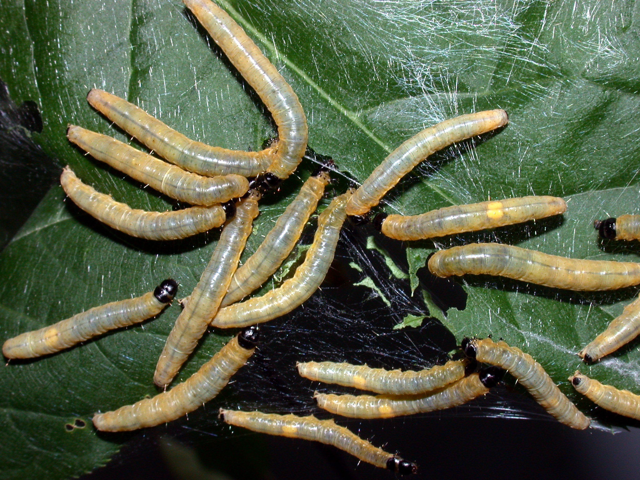 Sưu tập Bộ cánh vảy 3 Larvae_of_Archips_cerasivoranus