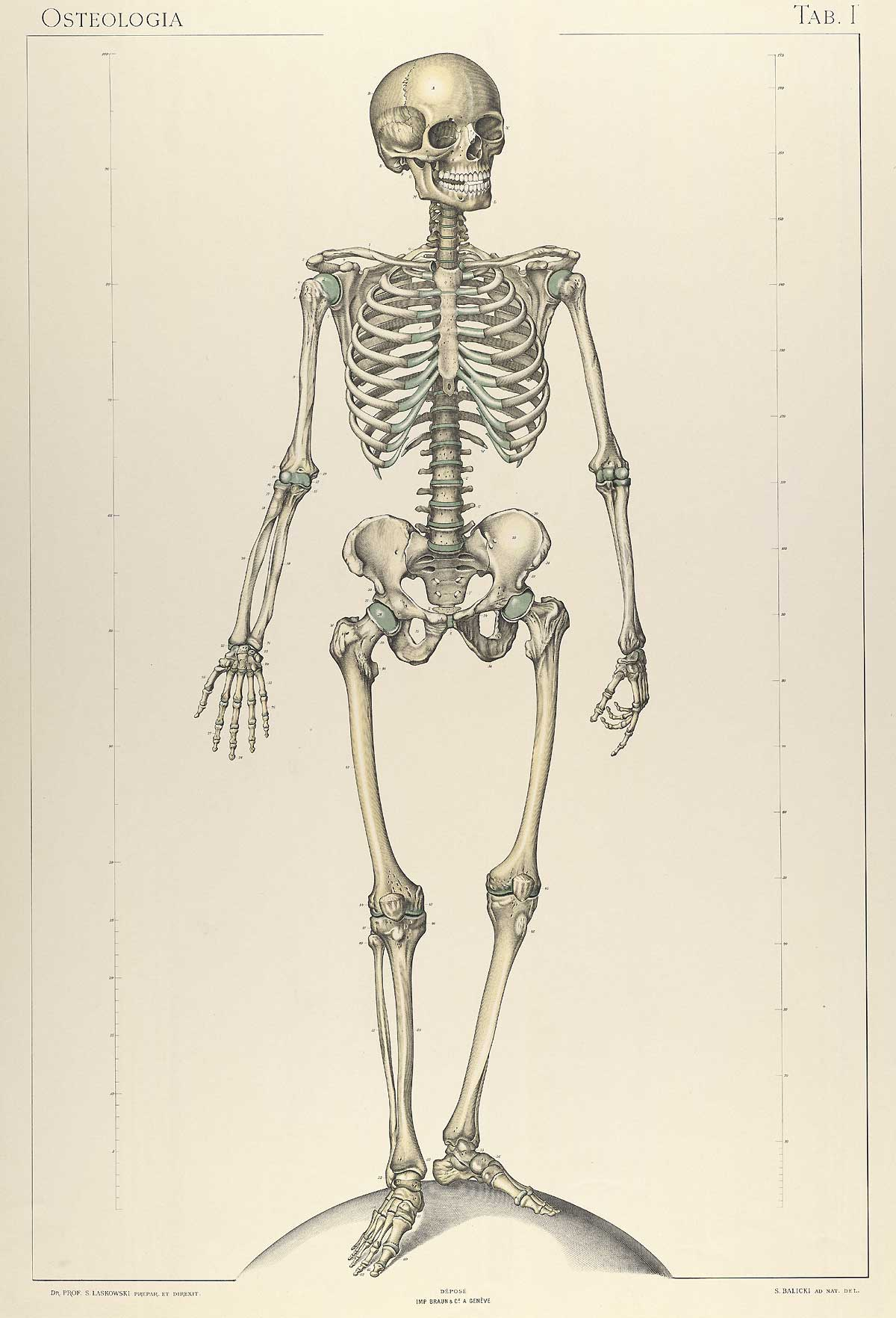 Ungewöhnlich Skelett Für Anatomie Klasse Ideen - Menschliche ...