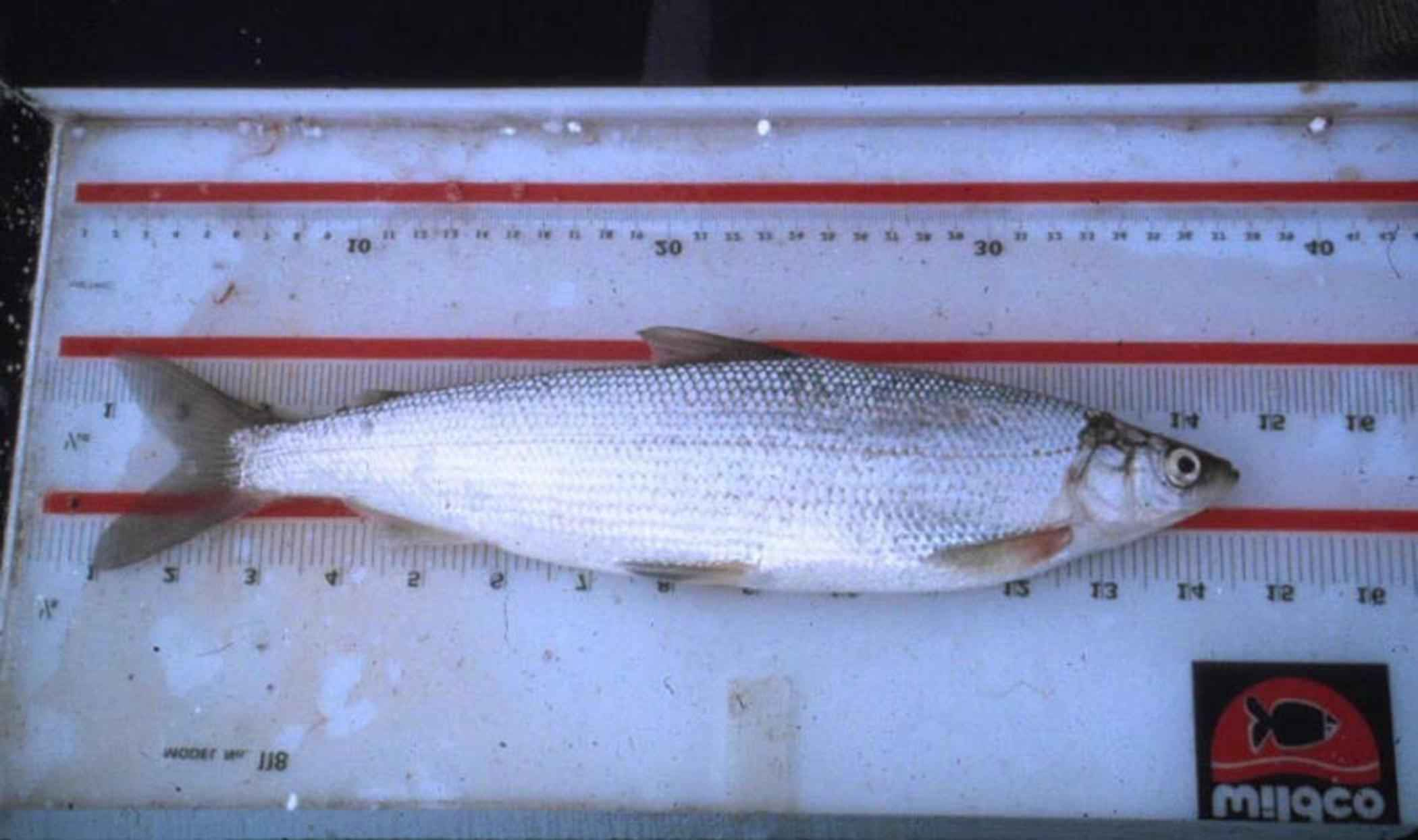 File:Least cisco fish coregonus sardinella.jpg - Wikimedia Commons: commons.wikimedia.org/wiki/file:least_cisco_fish_coregonus...