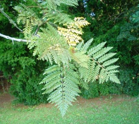 Lomatia ferruginea wikipedia for Poda de arboles zona sur