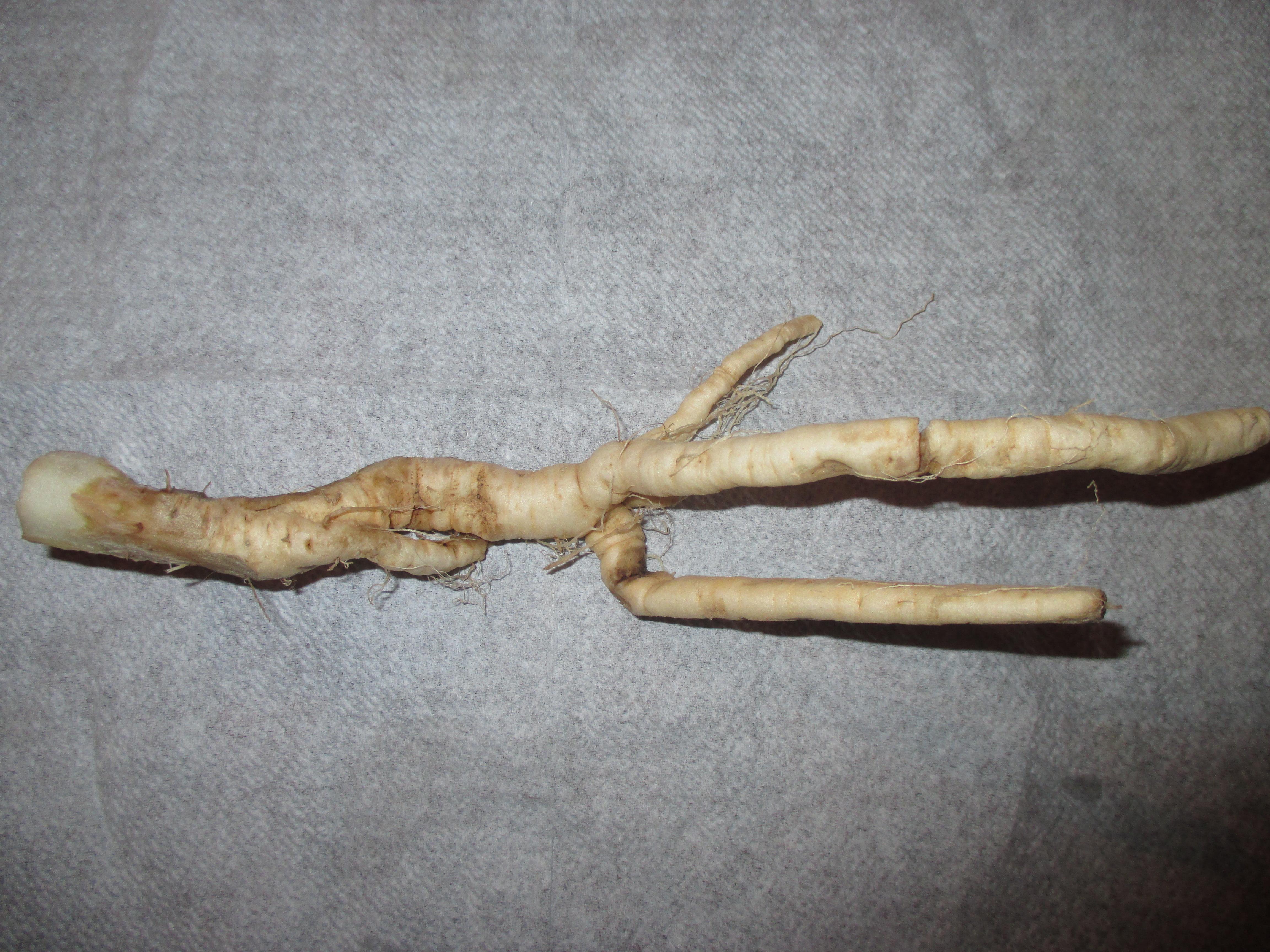 Mandragora autumnalis Root.jpg