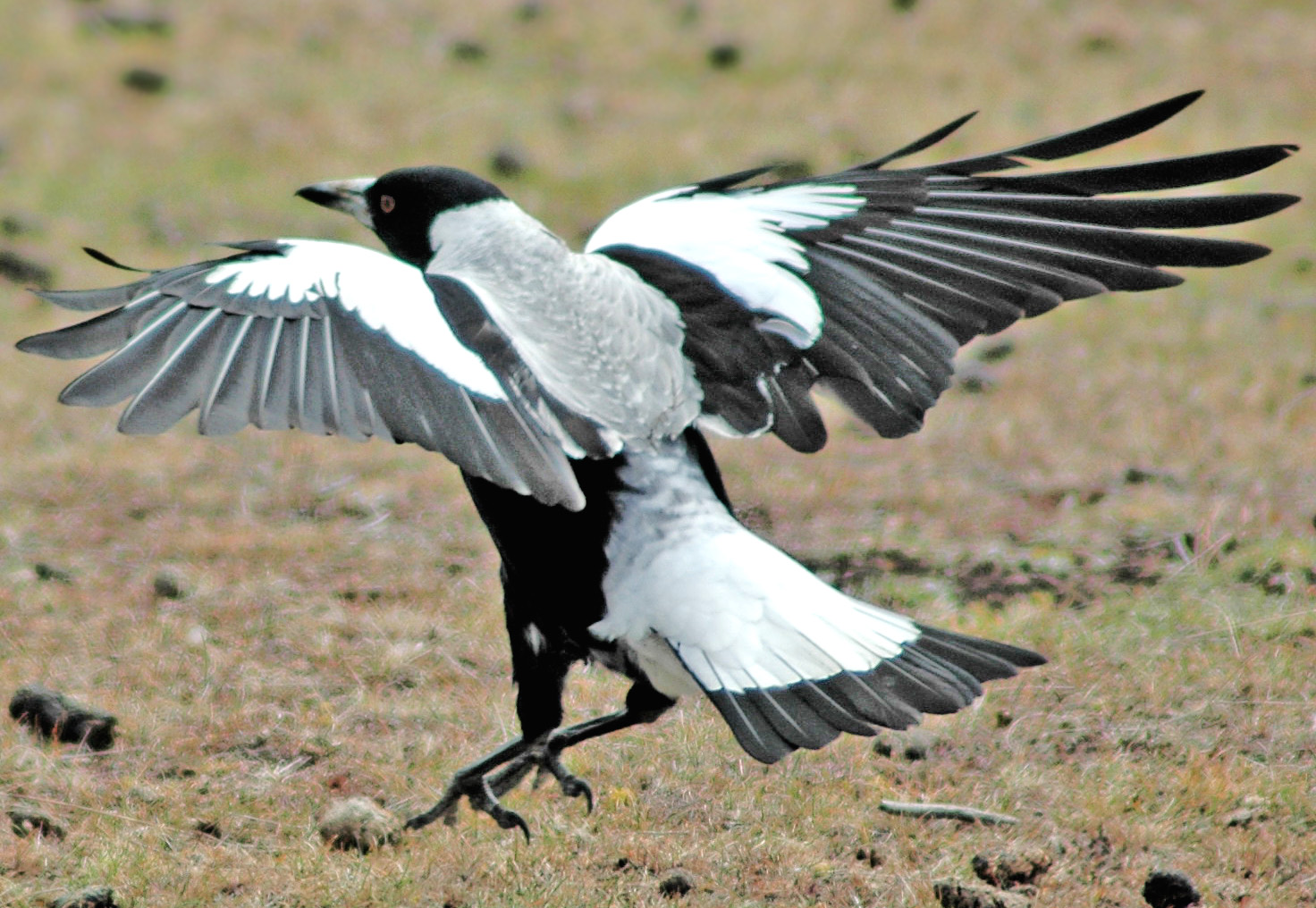 Magpie landing - photo#13