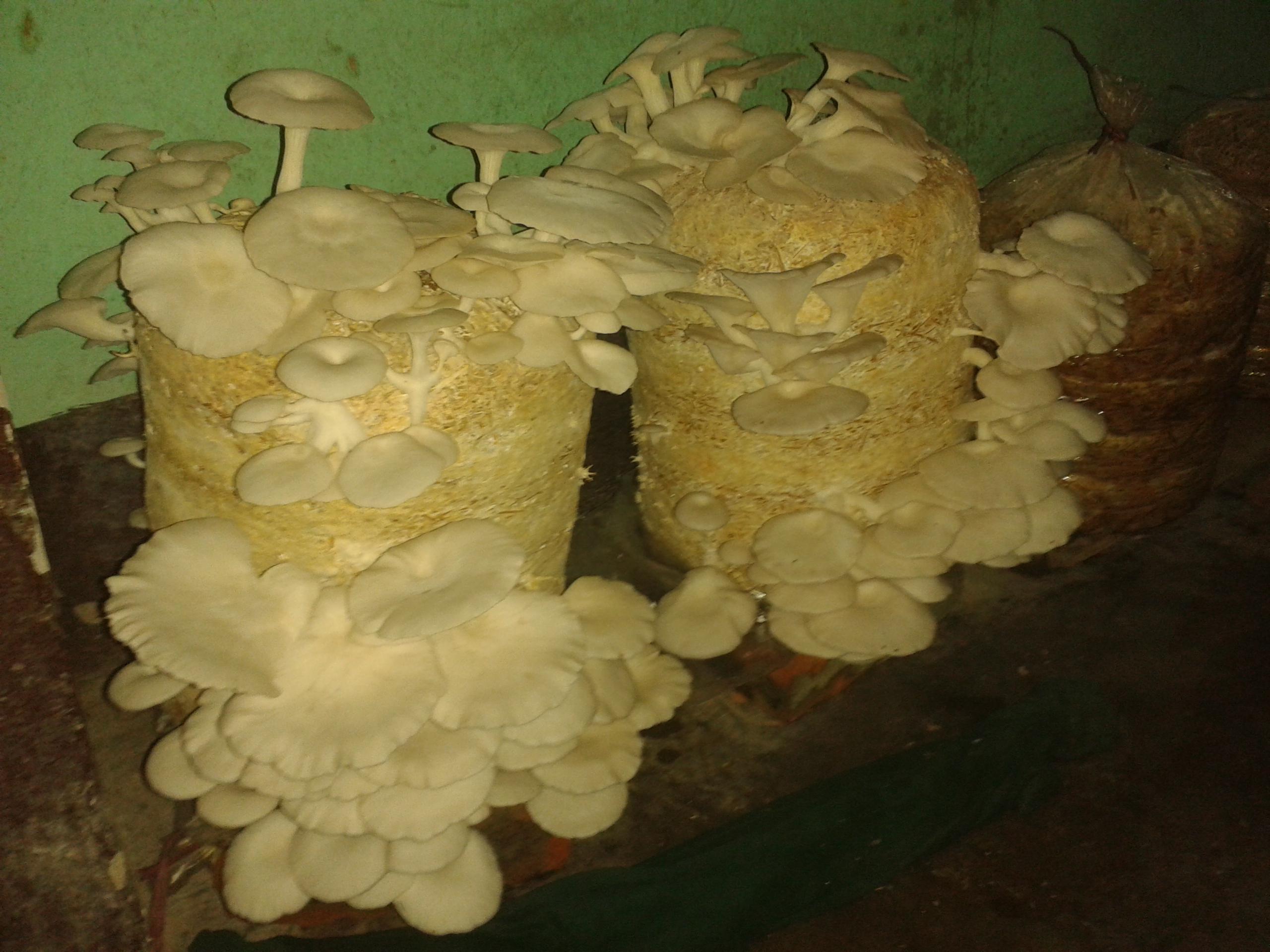 File:Mushroom20161019 153230.jpg