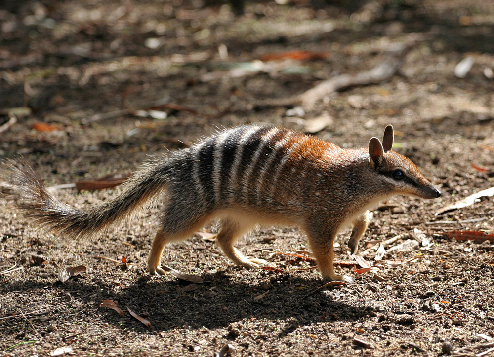 File Numbat on all about numbats