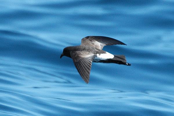 Oceanites maorianus.jpg
