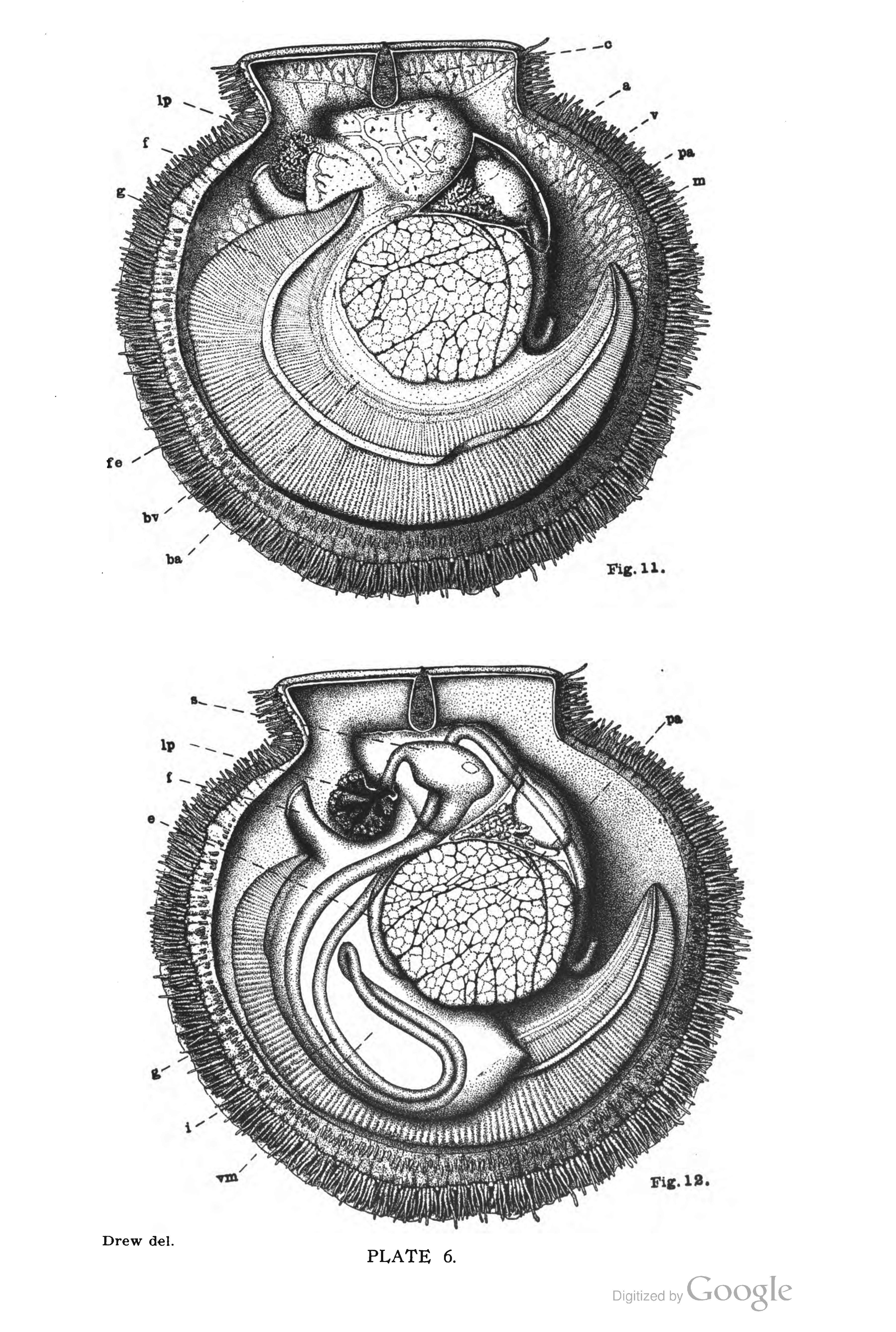 Filepages From The Habits Anatomy And Embryology Of Theg