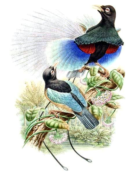 File:Paradisaea rudolphi by Bowdler Sharpe.jpg