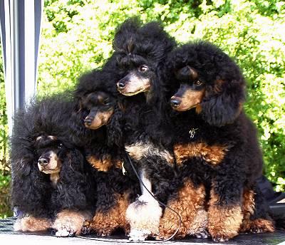 Phantom Poodles Miniature